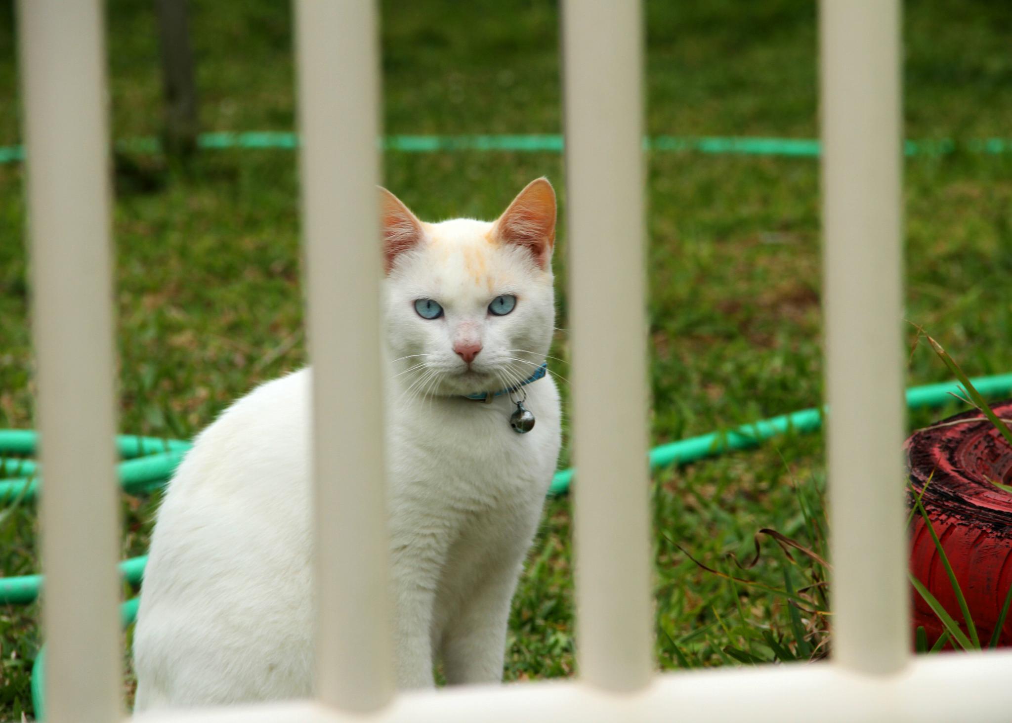 Cat of blue eyes  by AriAlmeida
