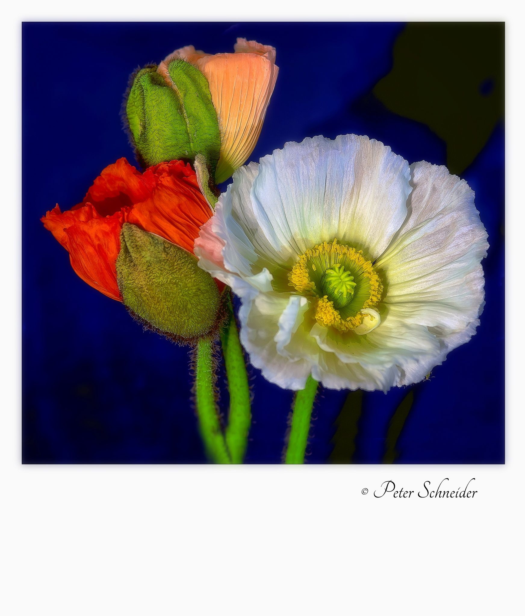 Poppy palette. by  Peter Schneider