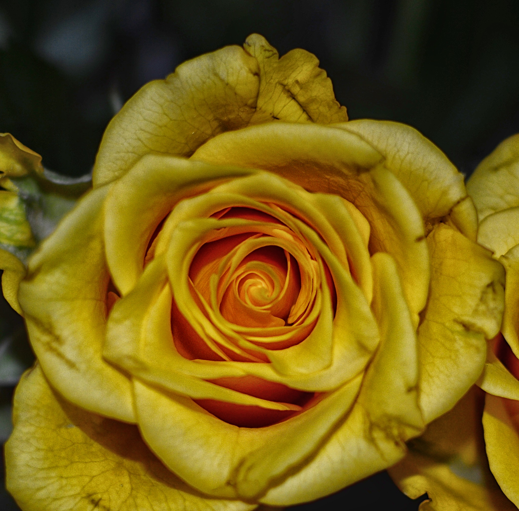 Yellow rose by dew1961cap