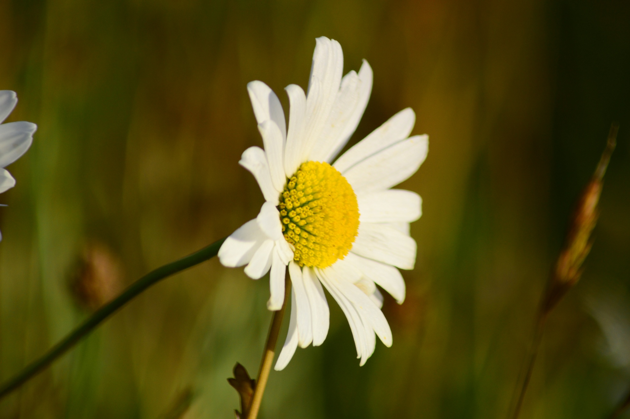 Daisy by dew1961cap
