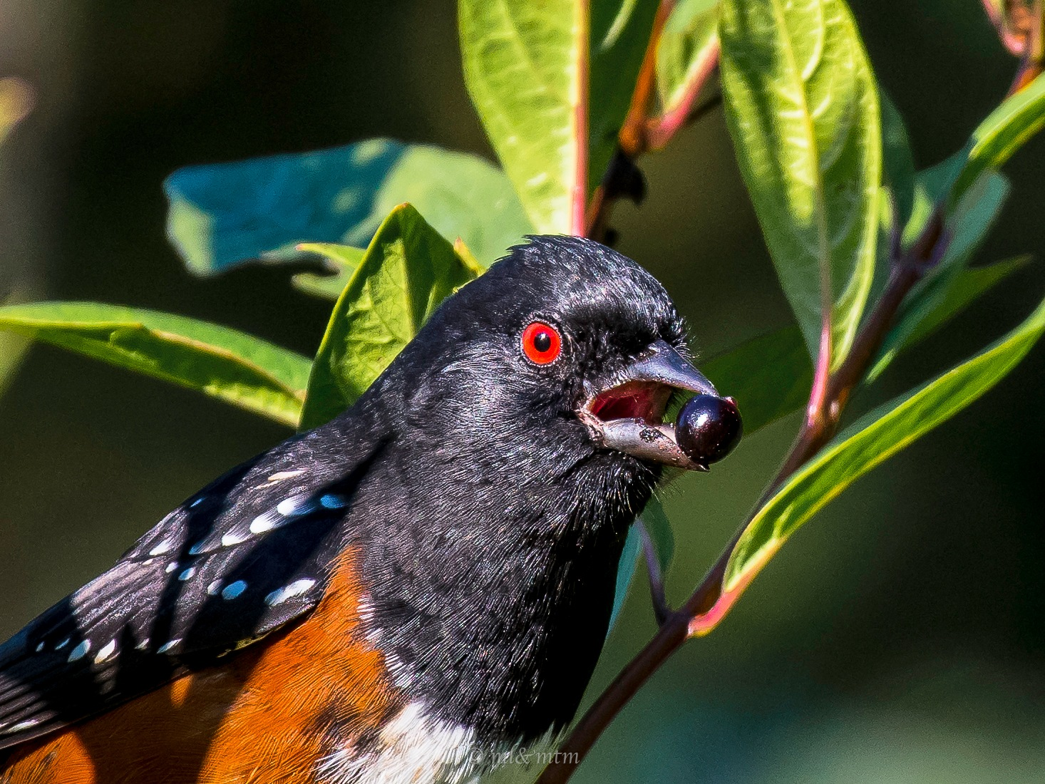 Spotted Towhee looks surprised. by MTM