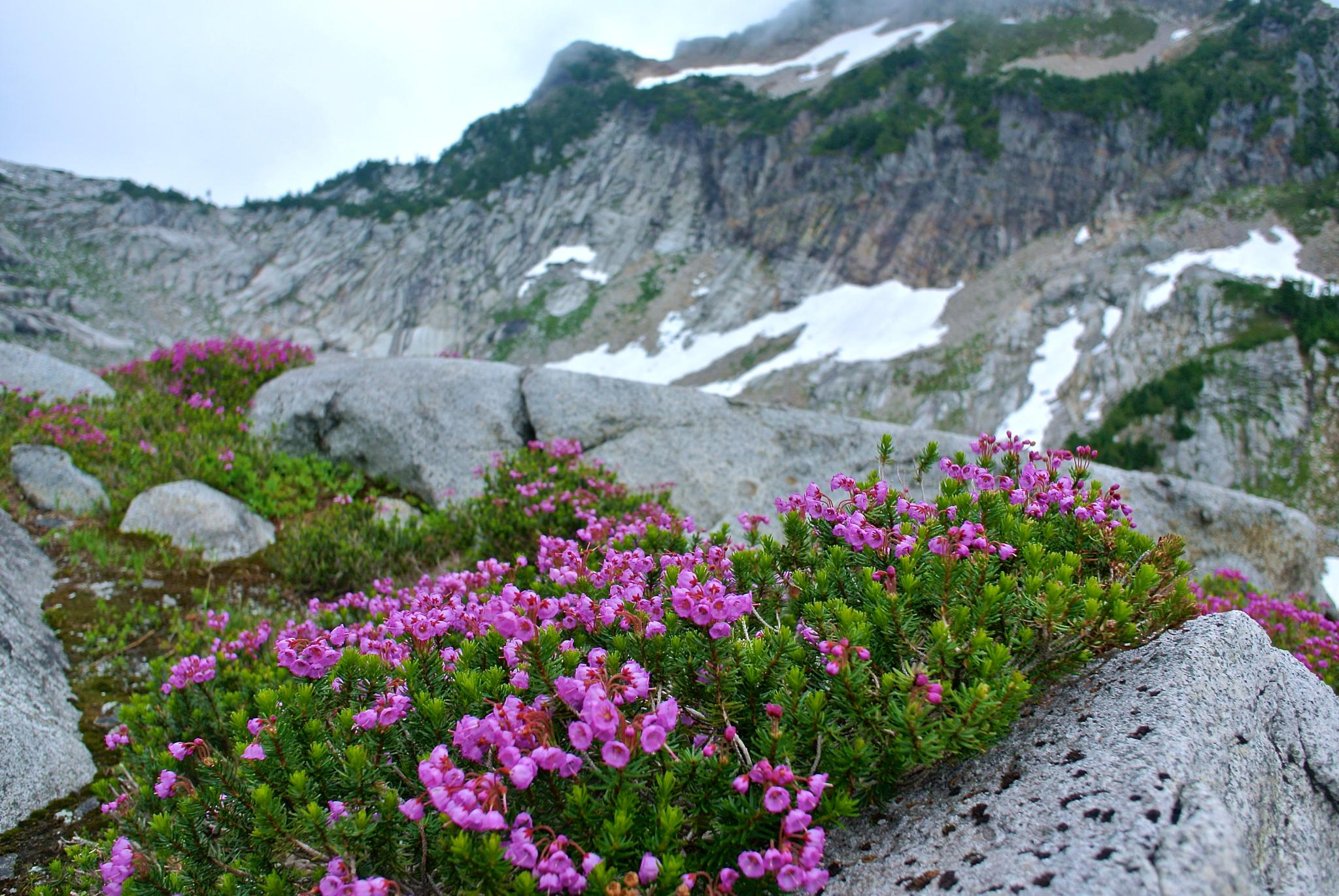 pink mountain heather @ Vesper peak by MTM