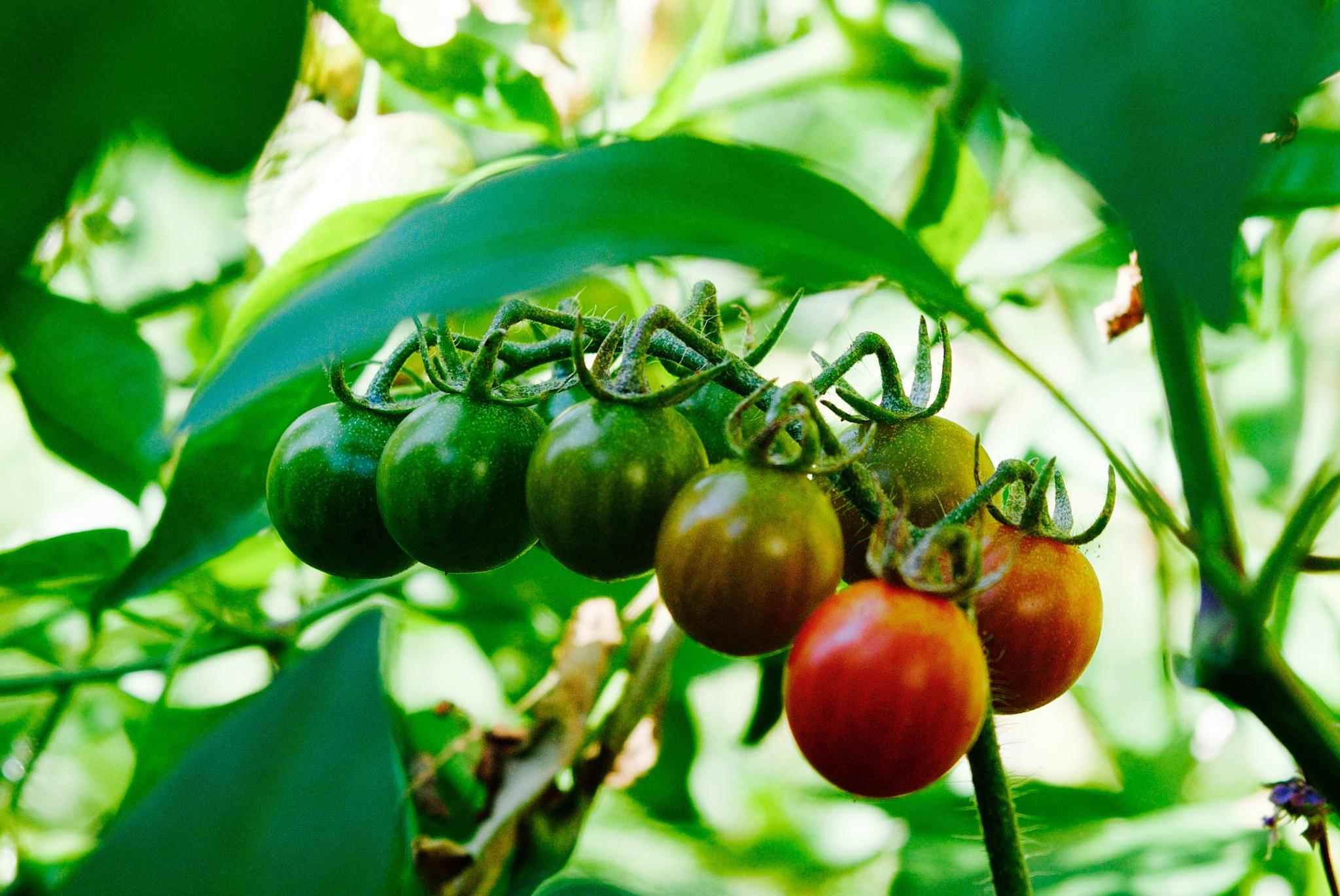 tomatoes on a vine by MTM