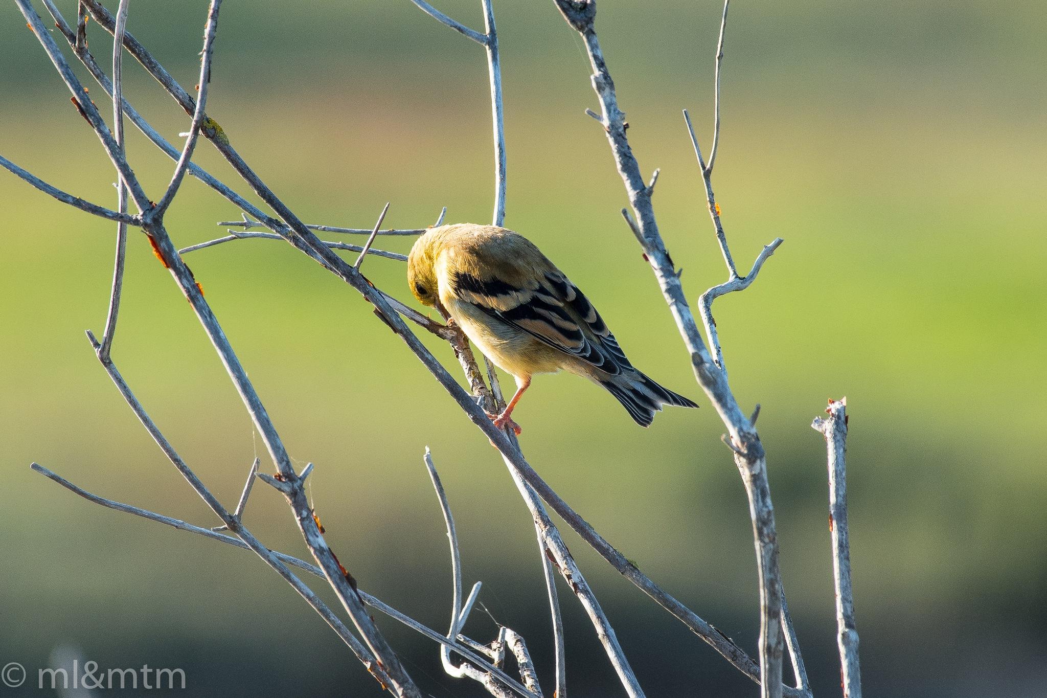 Finch by MTM