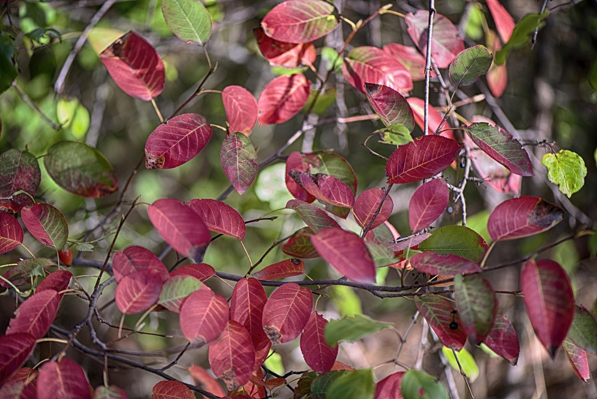Red leaves. by Lydie Burgunder