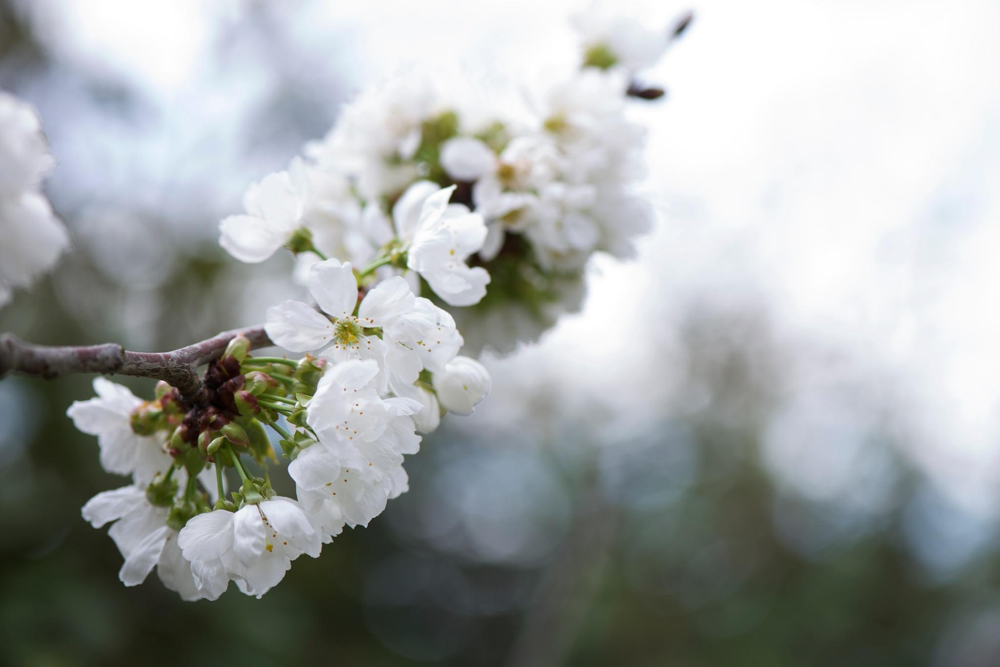 White bloom. by Lydie Burgunder
