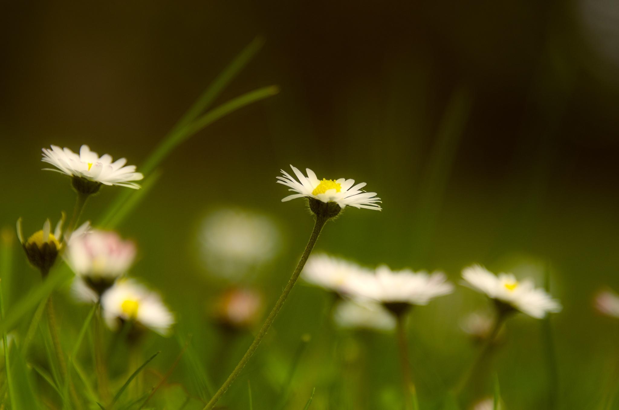 Daisies. by Lydie Burgunder