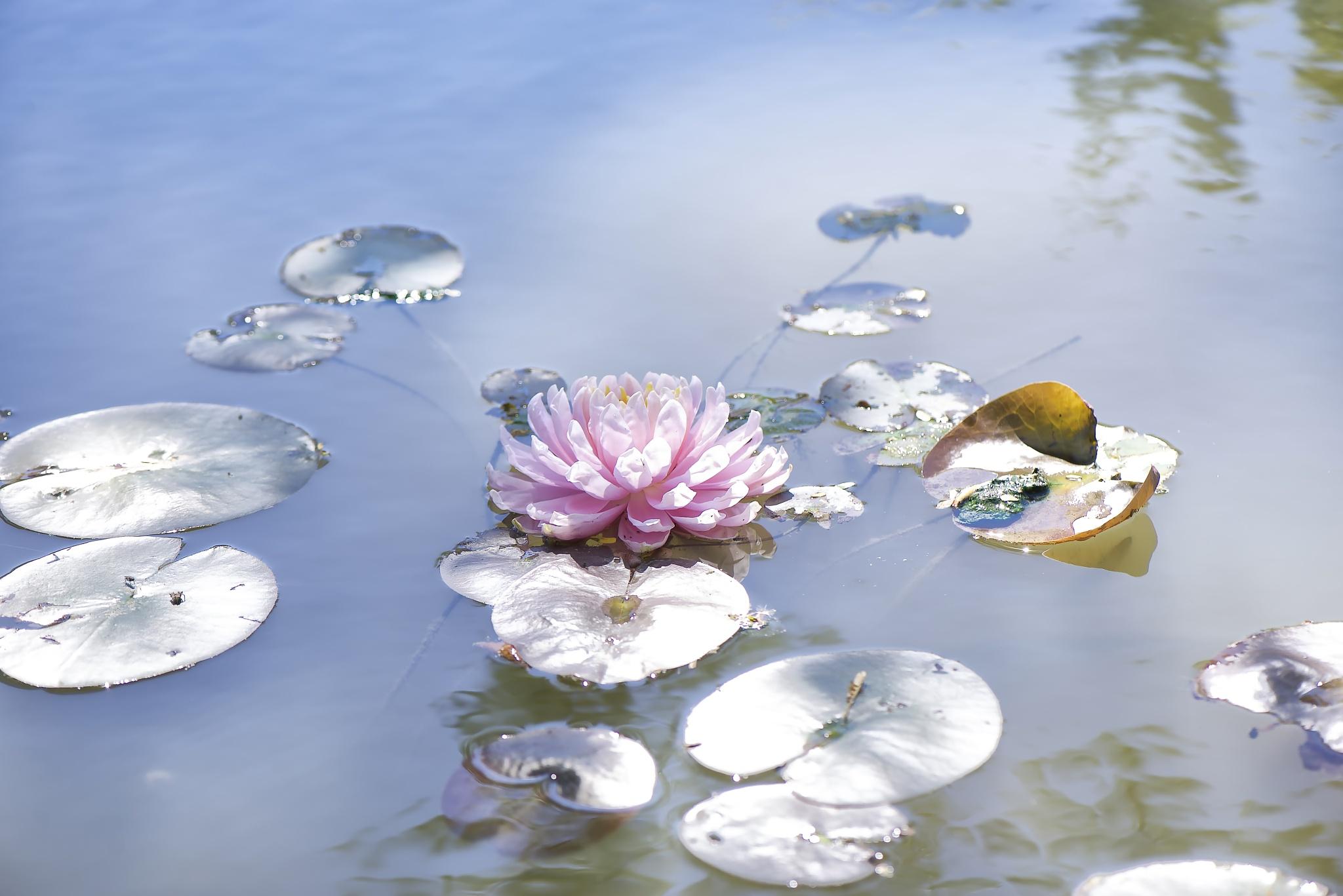 Silver leaves & waterlily. by Lydie Burgunder