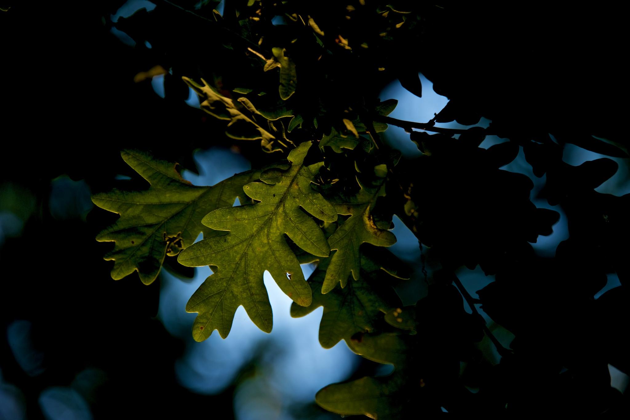Oak #2 by Lydie Burgunder