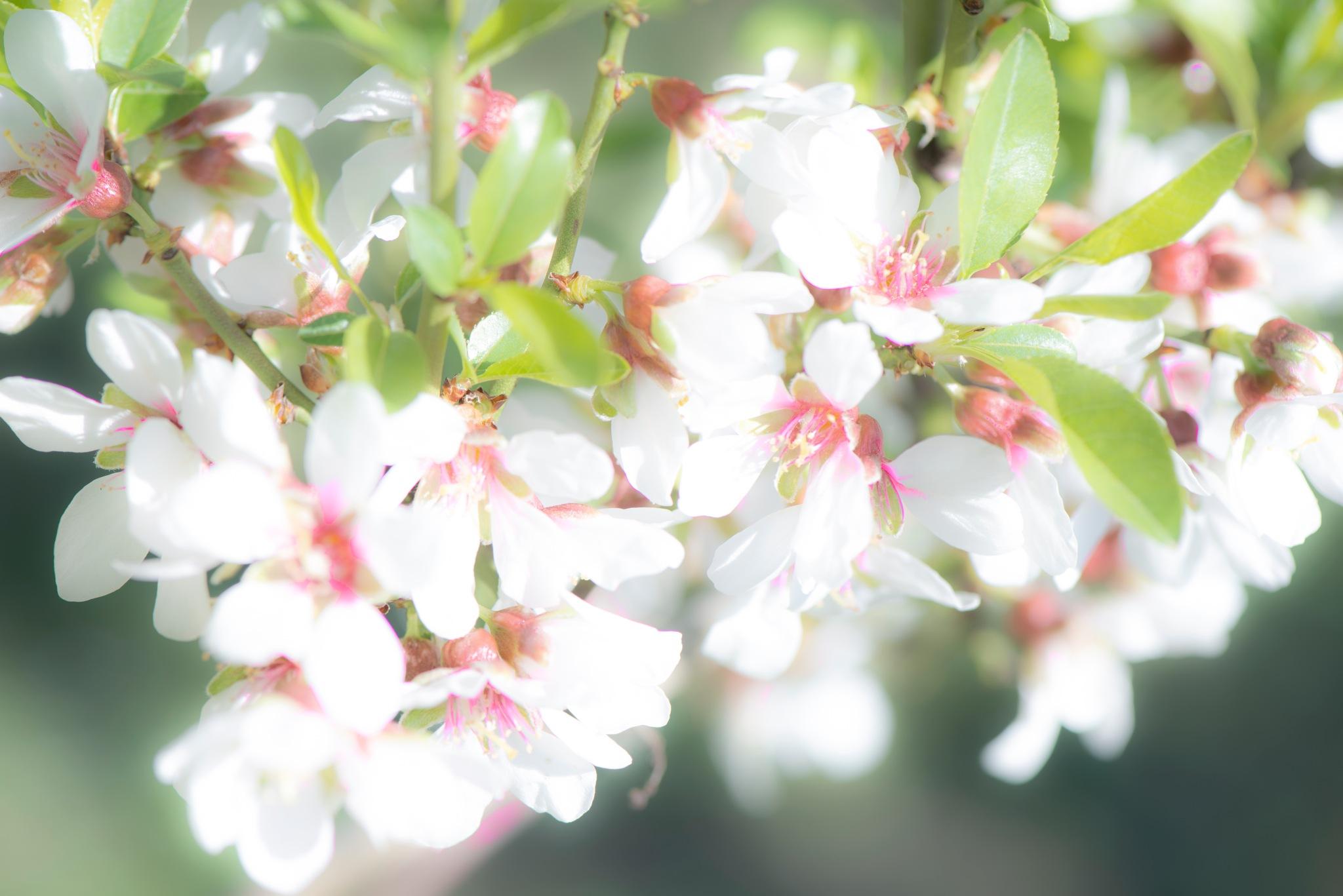 Almond tree bloom. by Lydie Burgunder