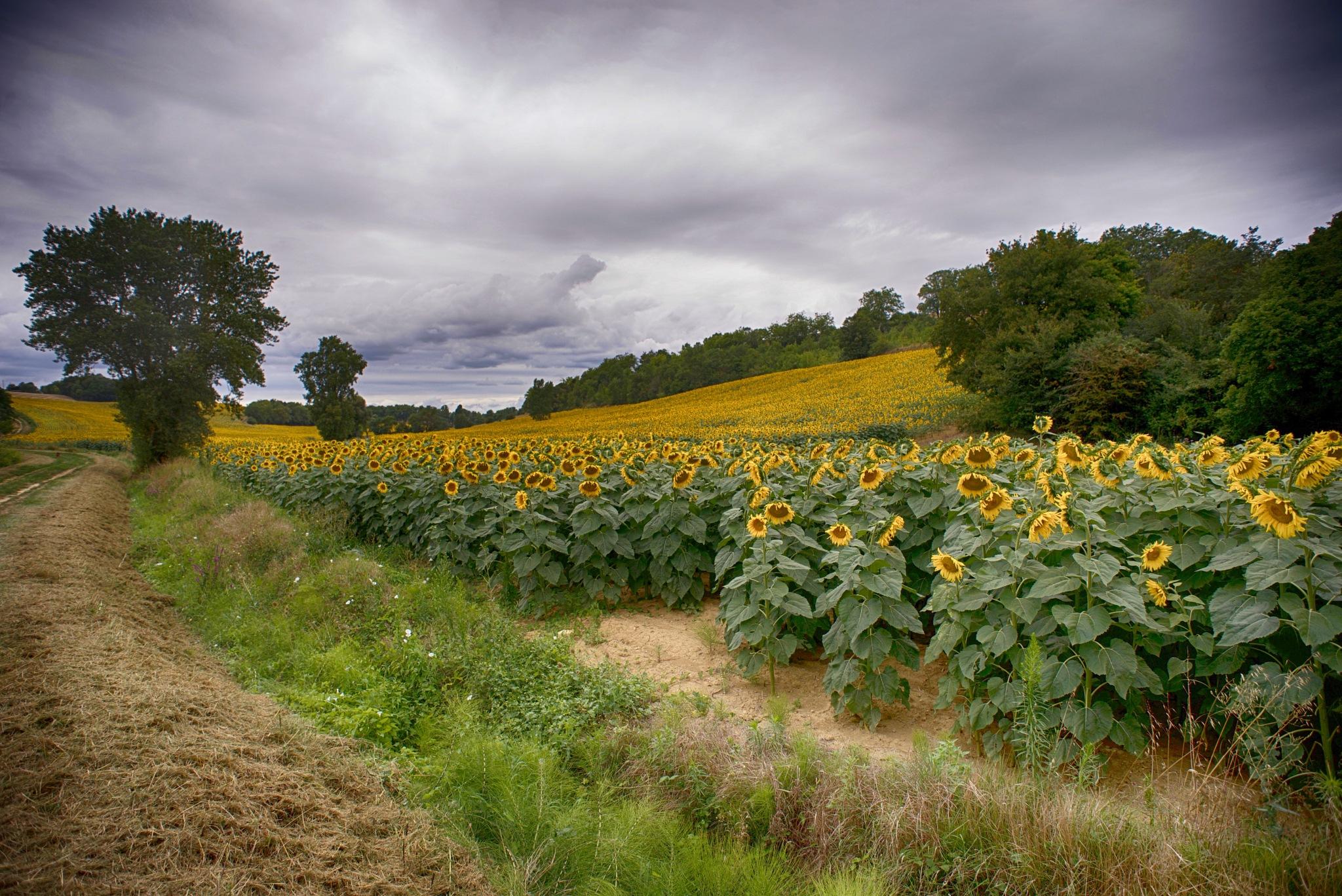 Sun Flowers. by Lydie Burgunder