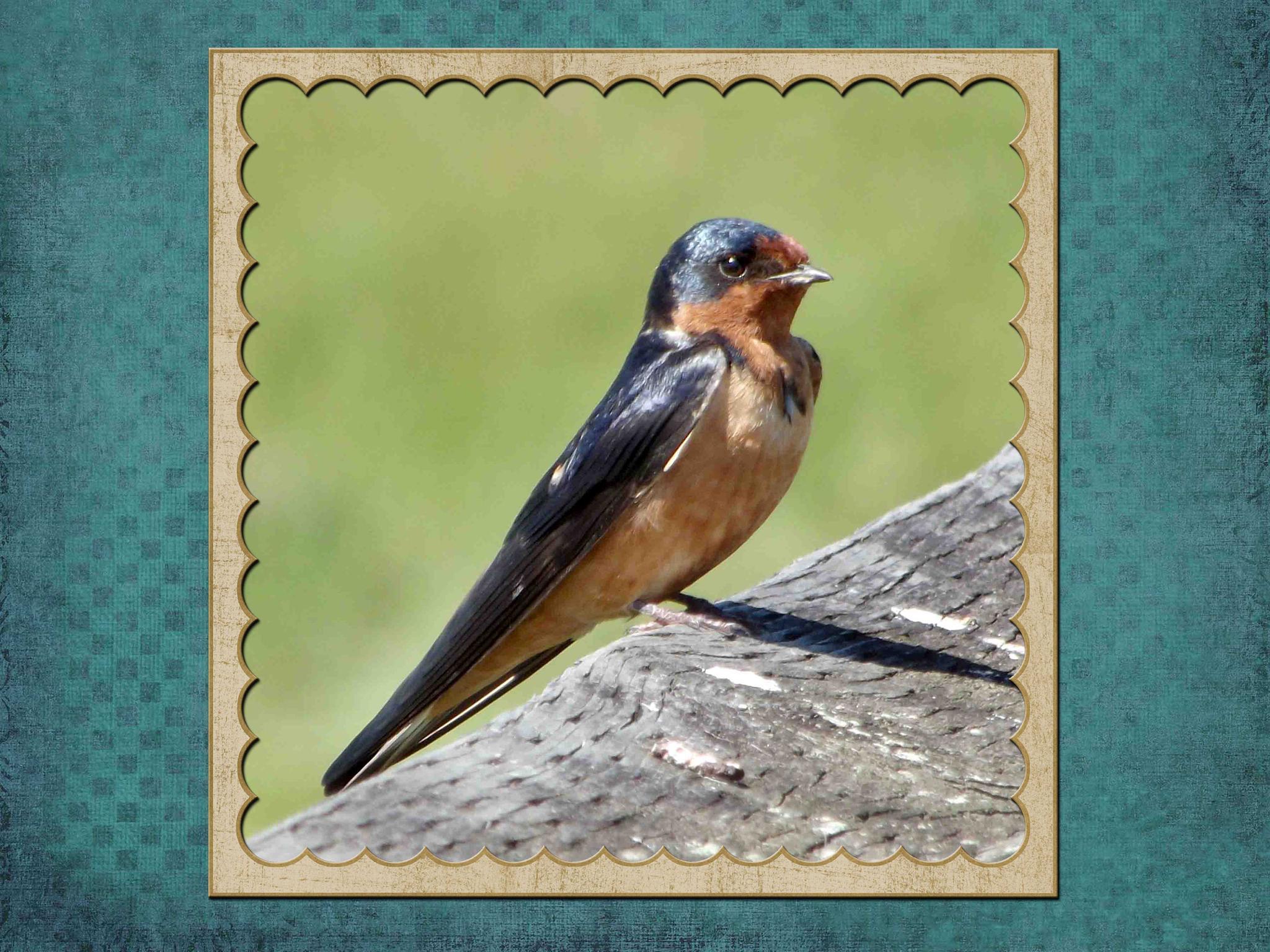 Swallow, Theler Wetlands, Belfair, WA framed  by 911photogirl