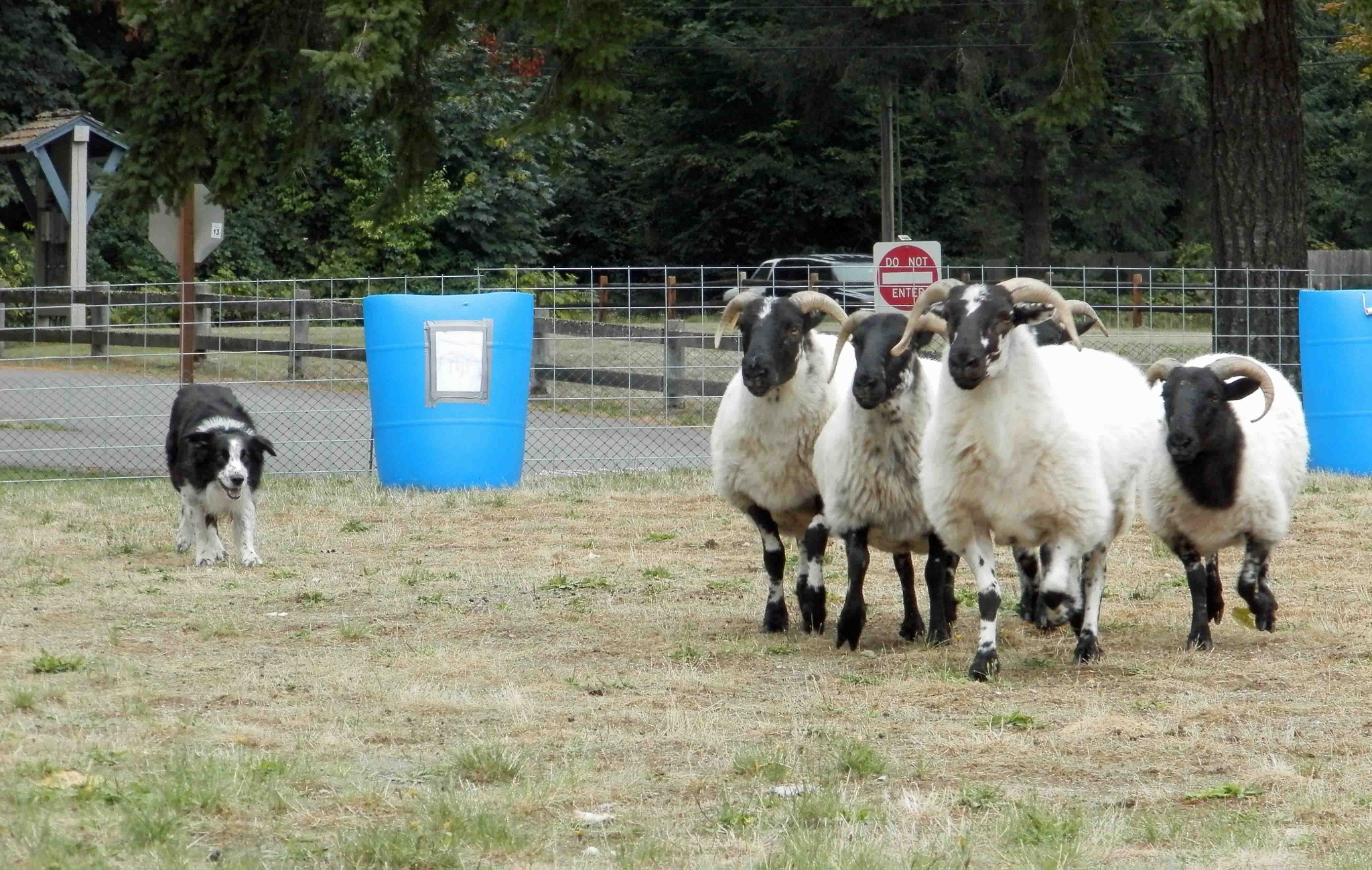 2015 Hood Canal Highland Celtic Festival, Border Collies by 911photogirl