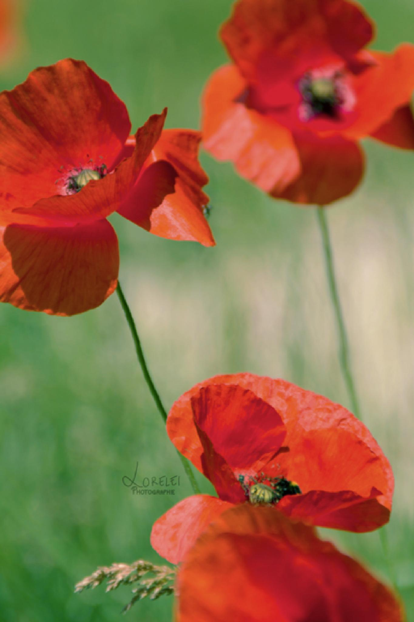 Poppies by loreleiphotographie