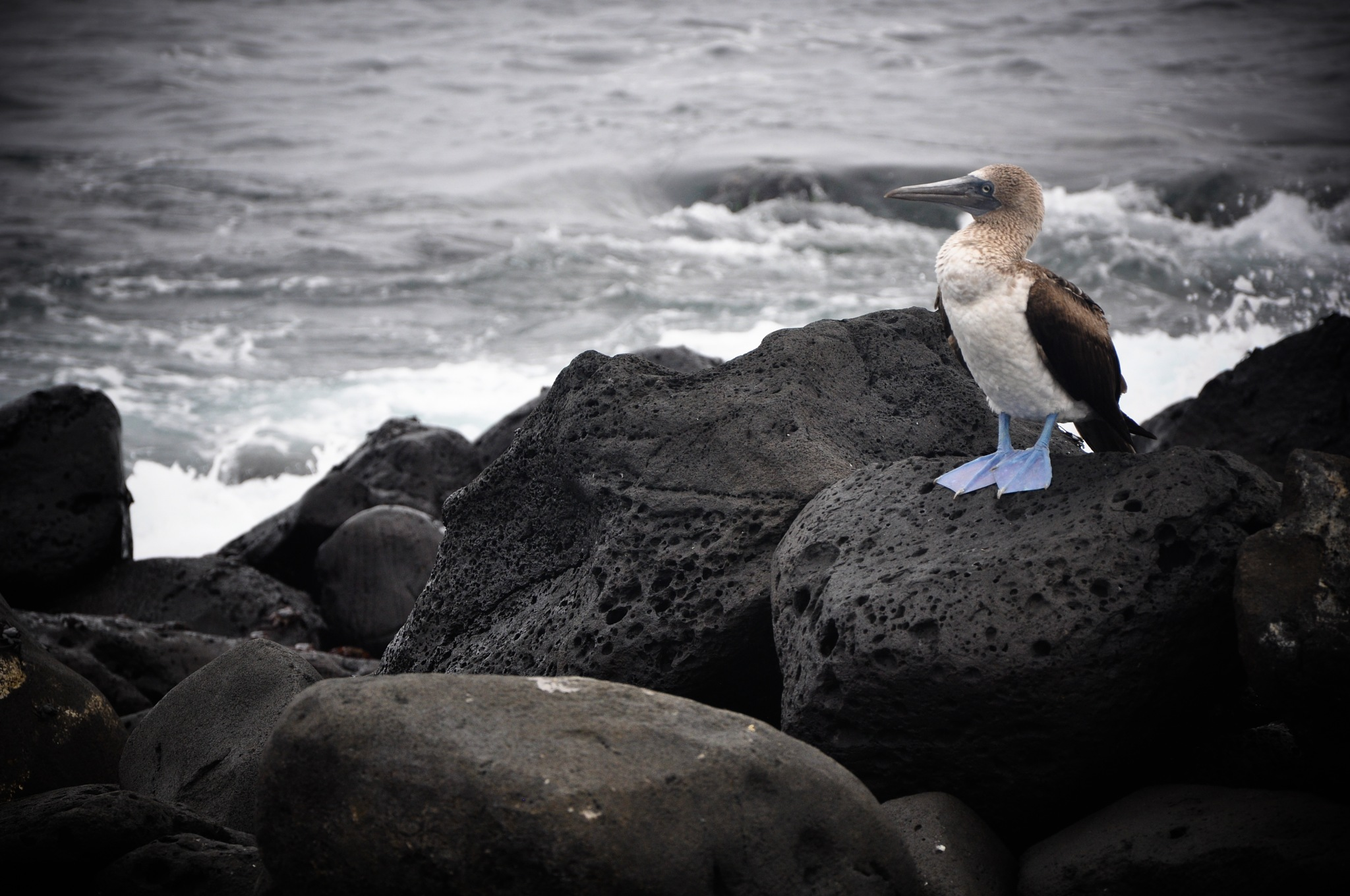 The Blue-Footed Booby (Ecuador) by Jiri Bielicky
