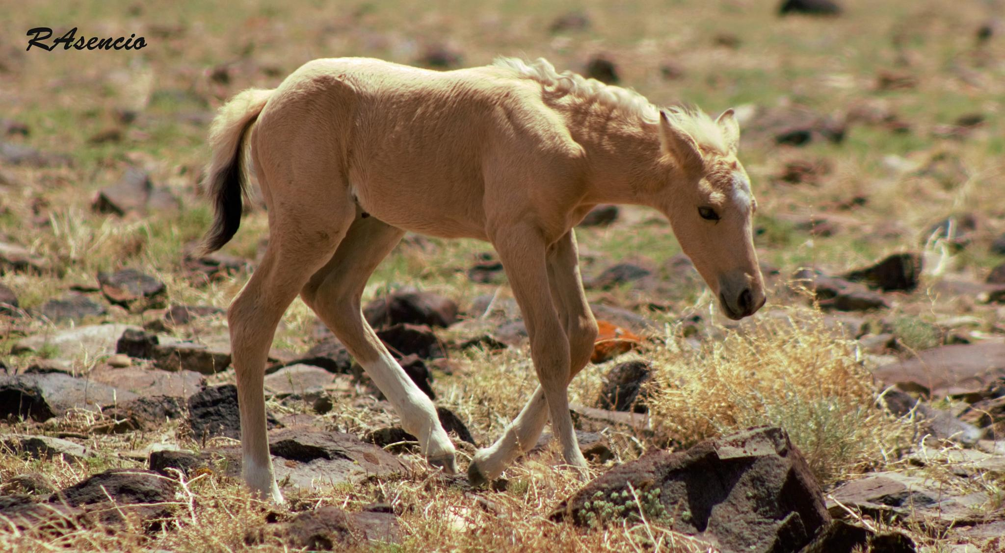 Wild Mustang of Nevada! by richieasencio