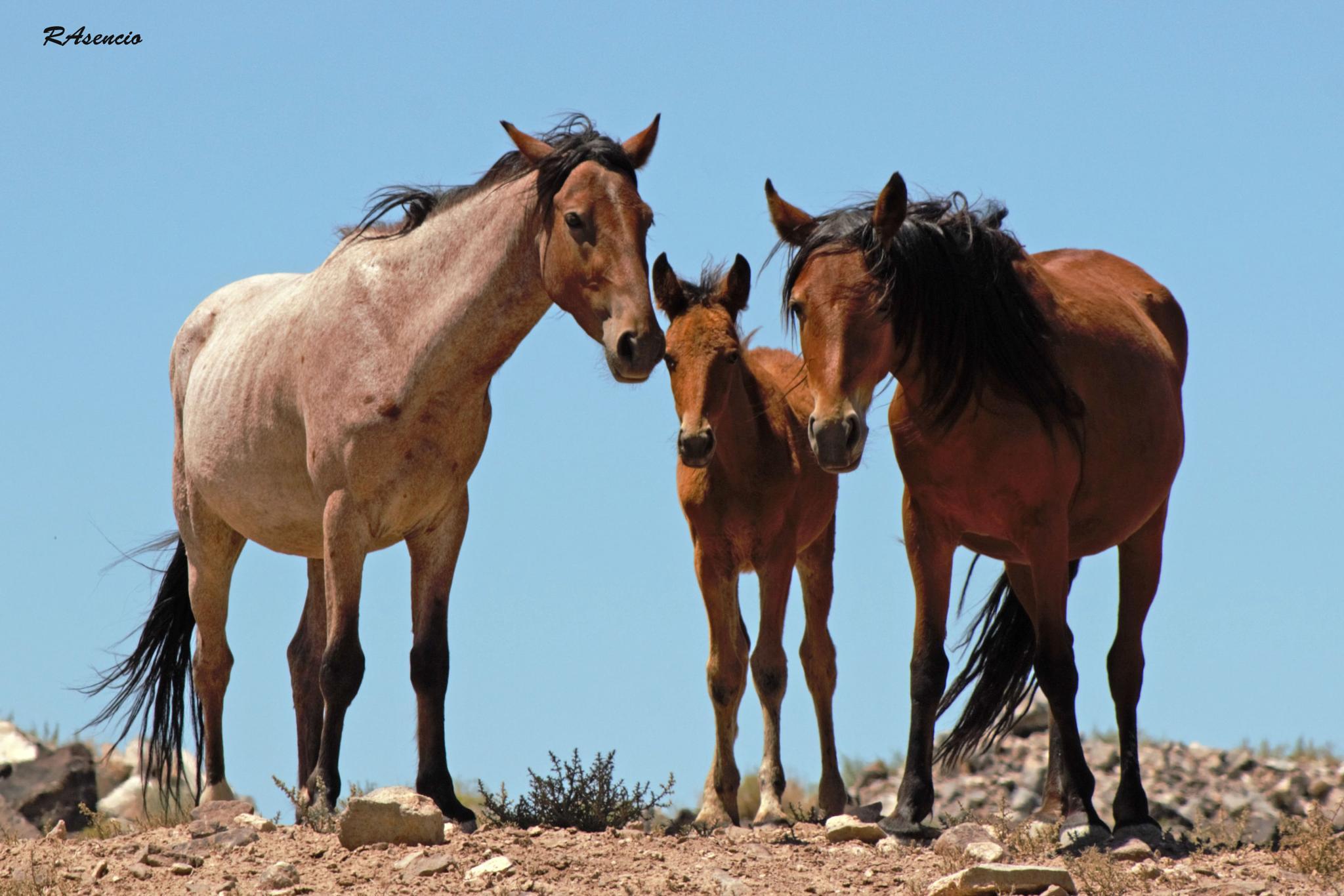 Wild Mustangs of Nevada! by richieasencio