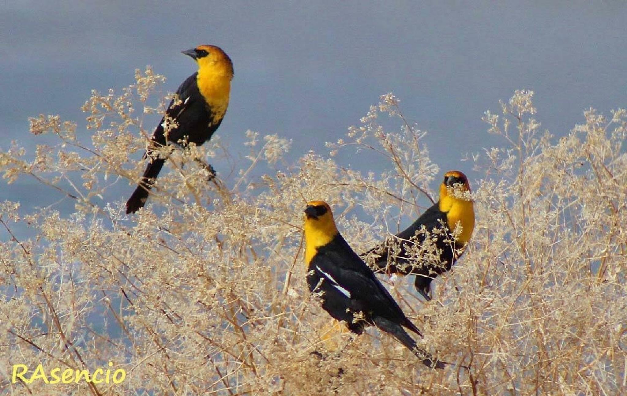 Yellow-headed Blackbirds by richieasencio
