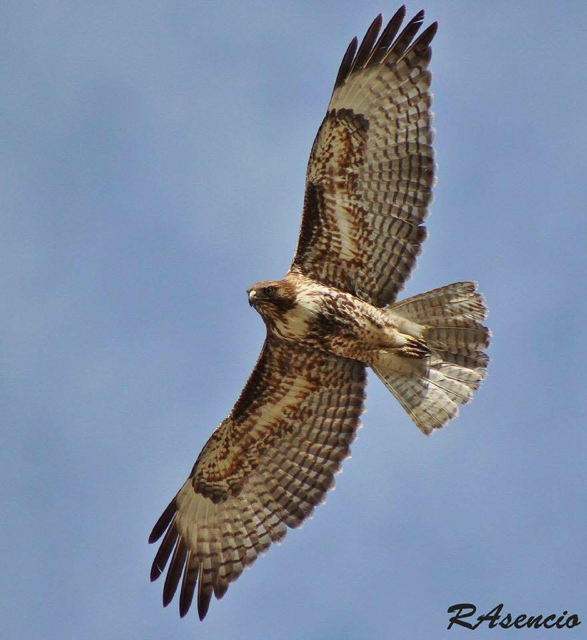 Red-tailed Hawk by richieasencio