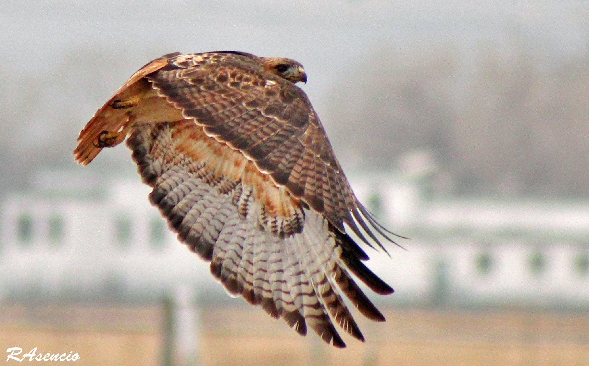 Red-tailed Hawk! by richieasencio