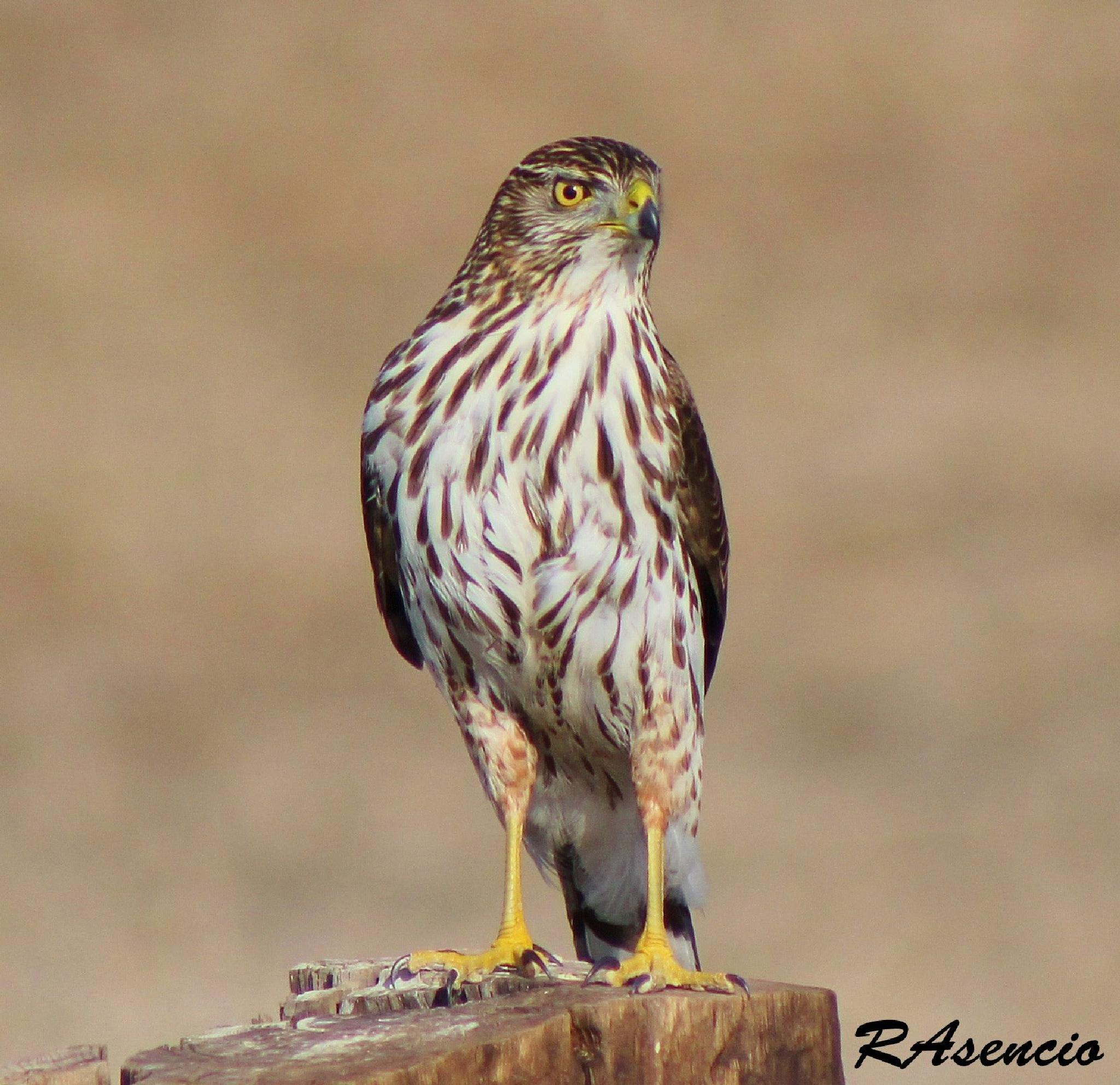 Coopers Hawk! by richieasencio