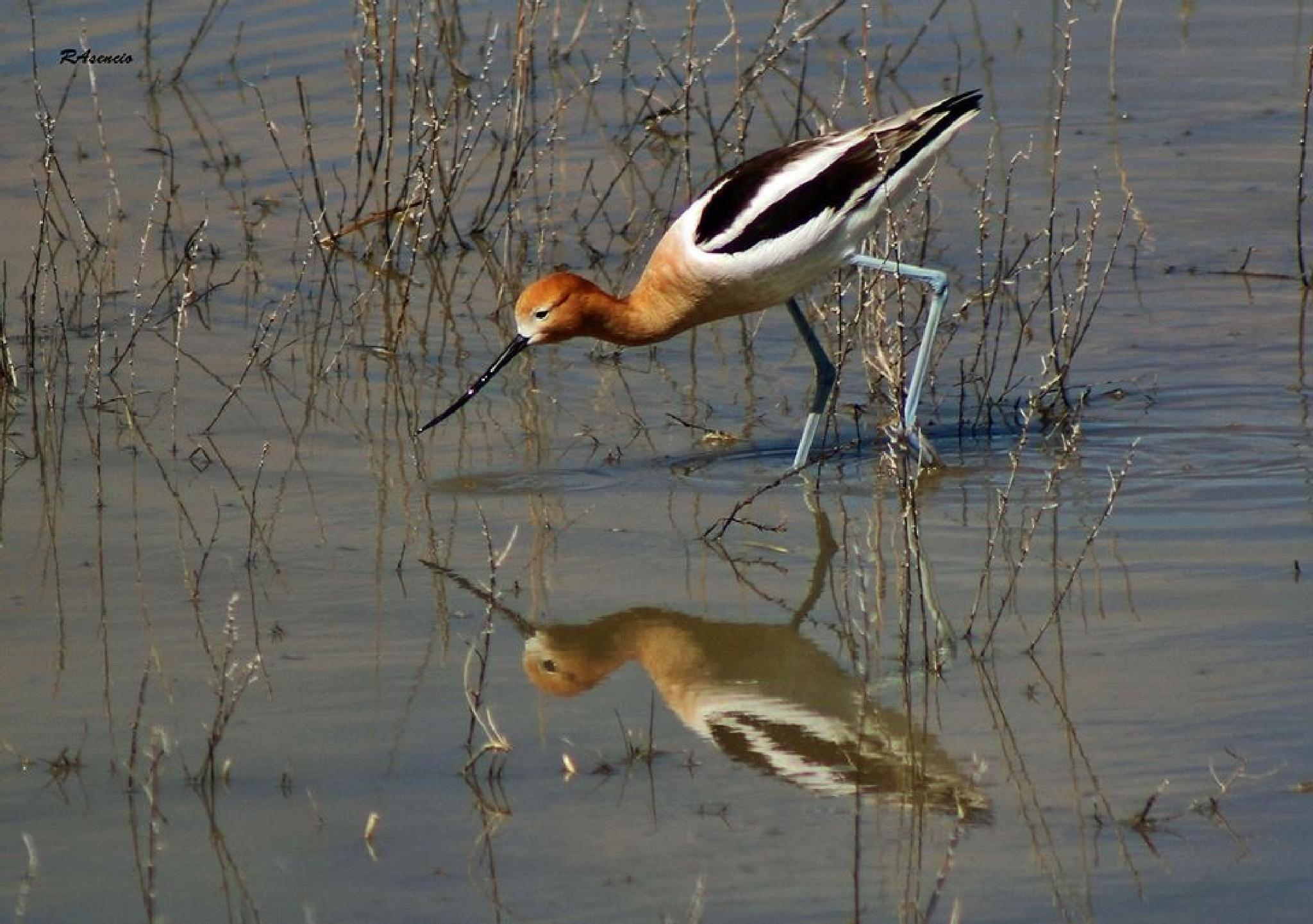 American Avocet! by richieasencio