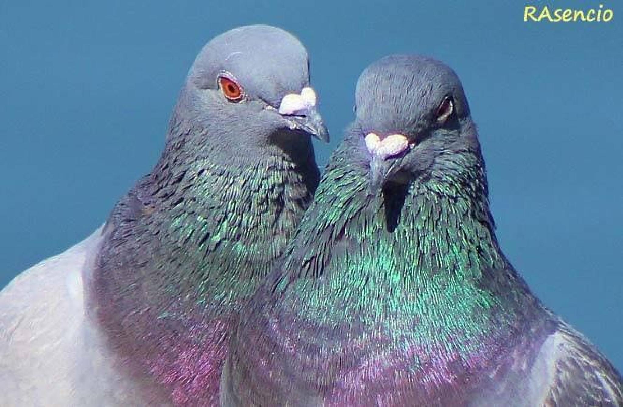 Rock Doves by richieasencio