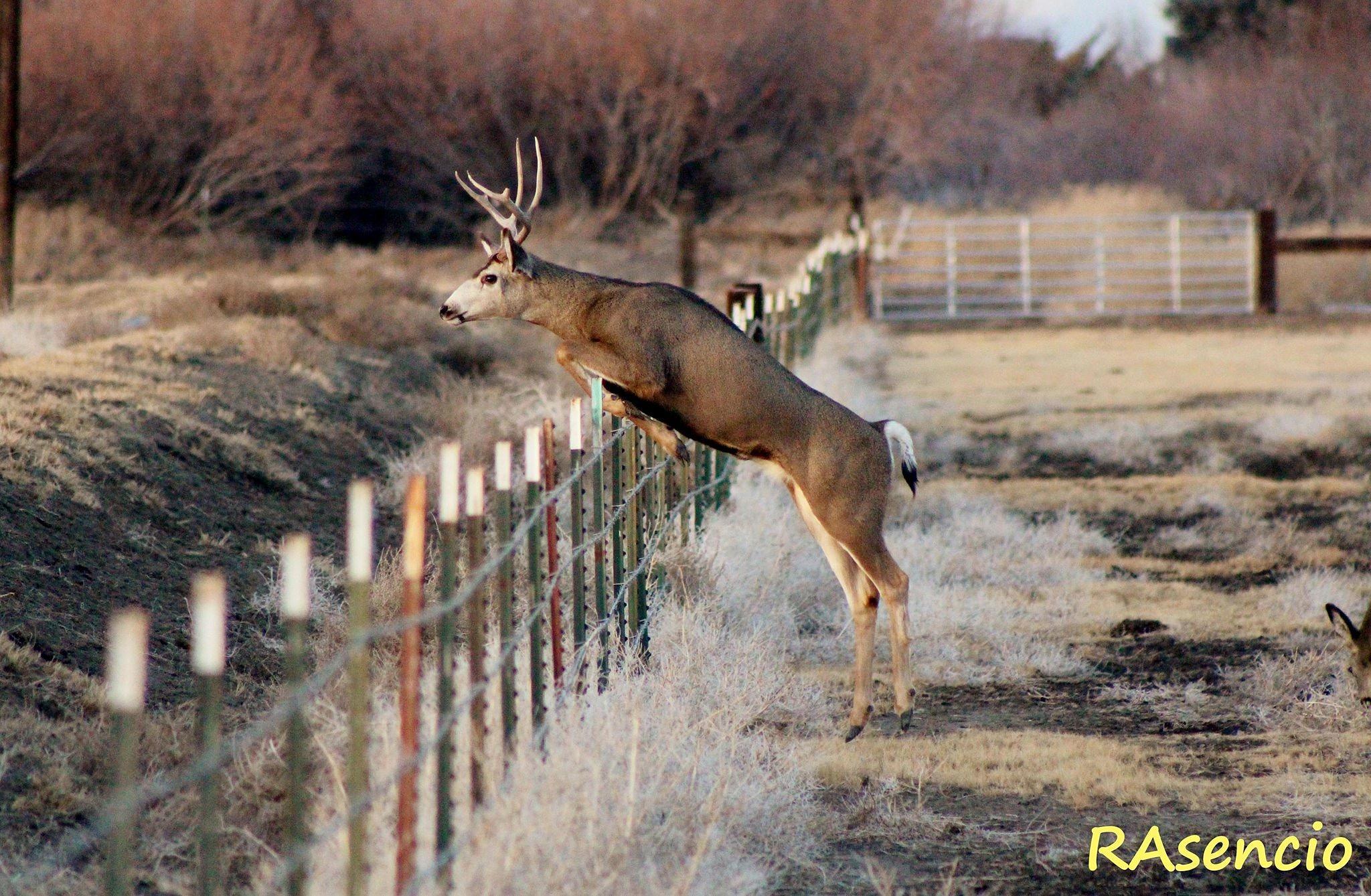 Mule Deer! by richieasencio