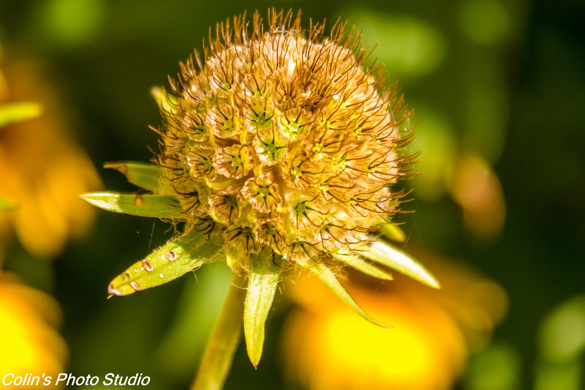 Seeded pod by Colin