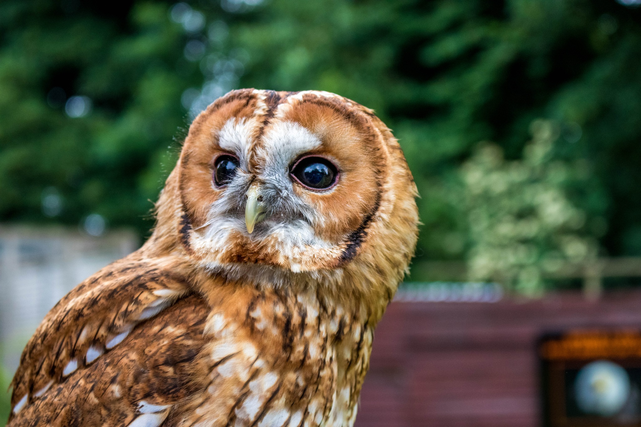 Owl by Colin