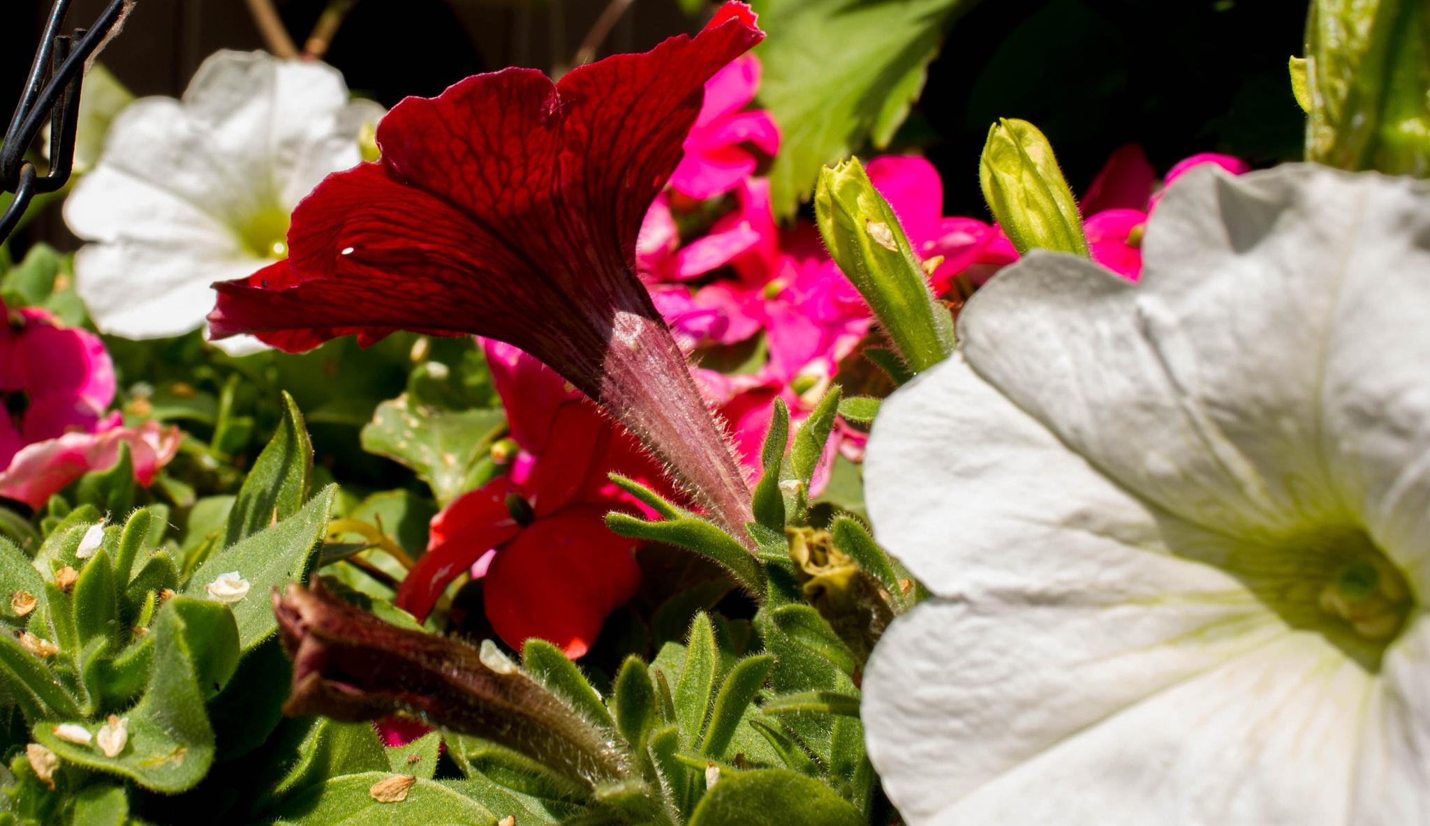 Photo in Nature #petunia #flowers #nature