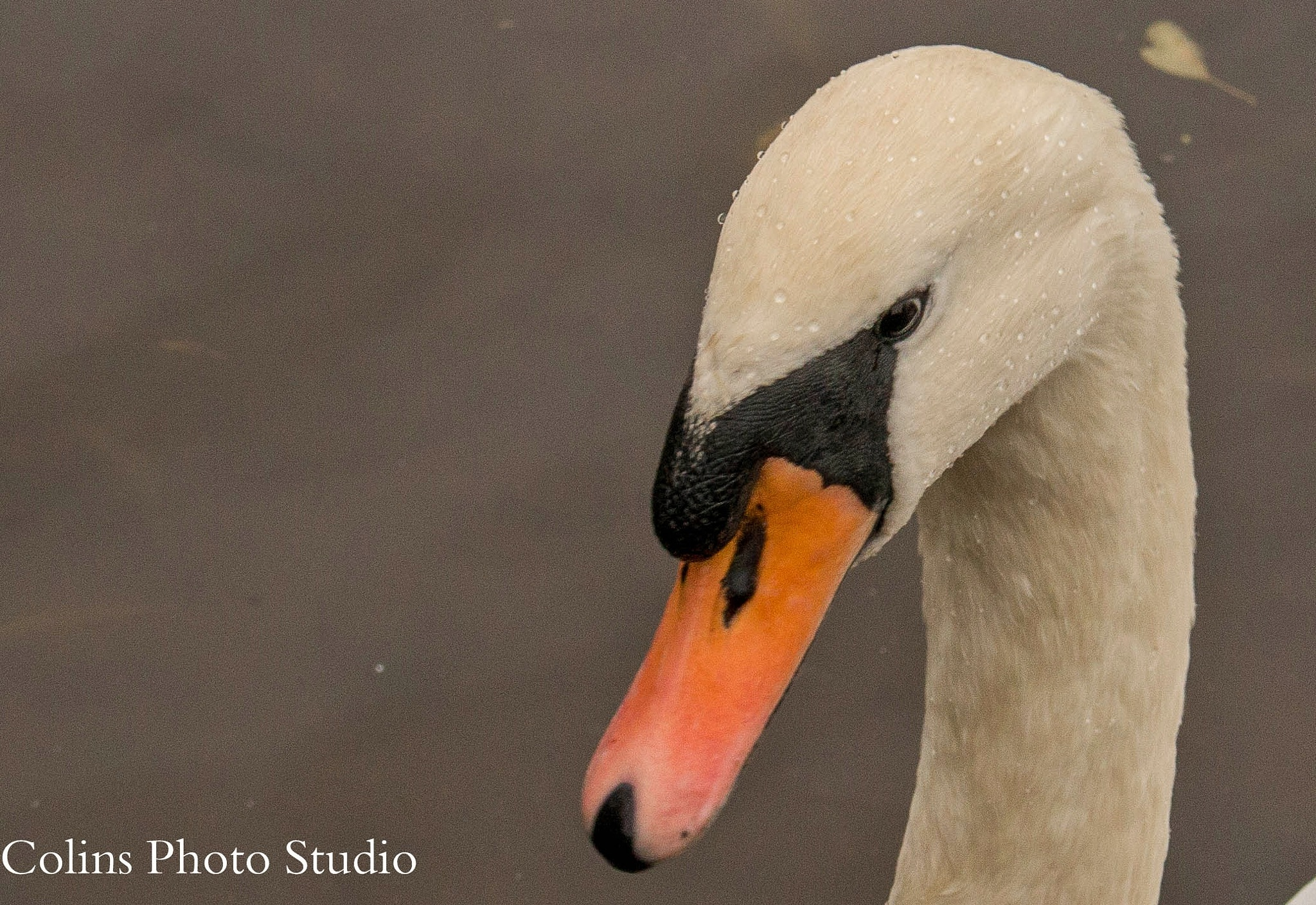 A Swan by Colin
