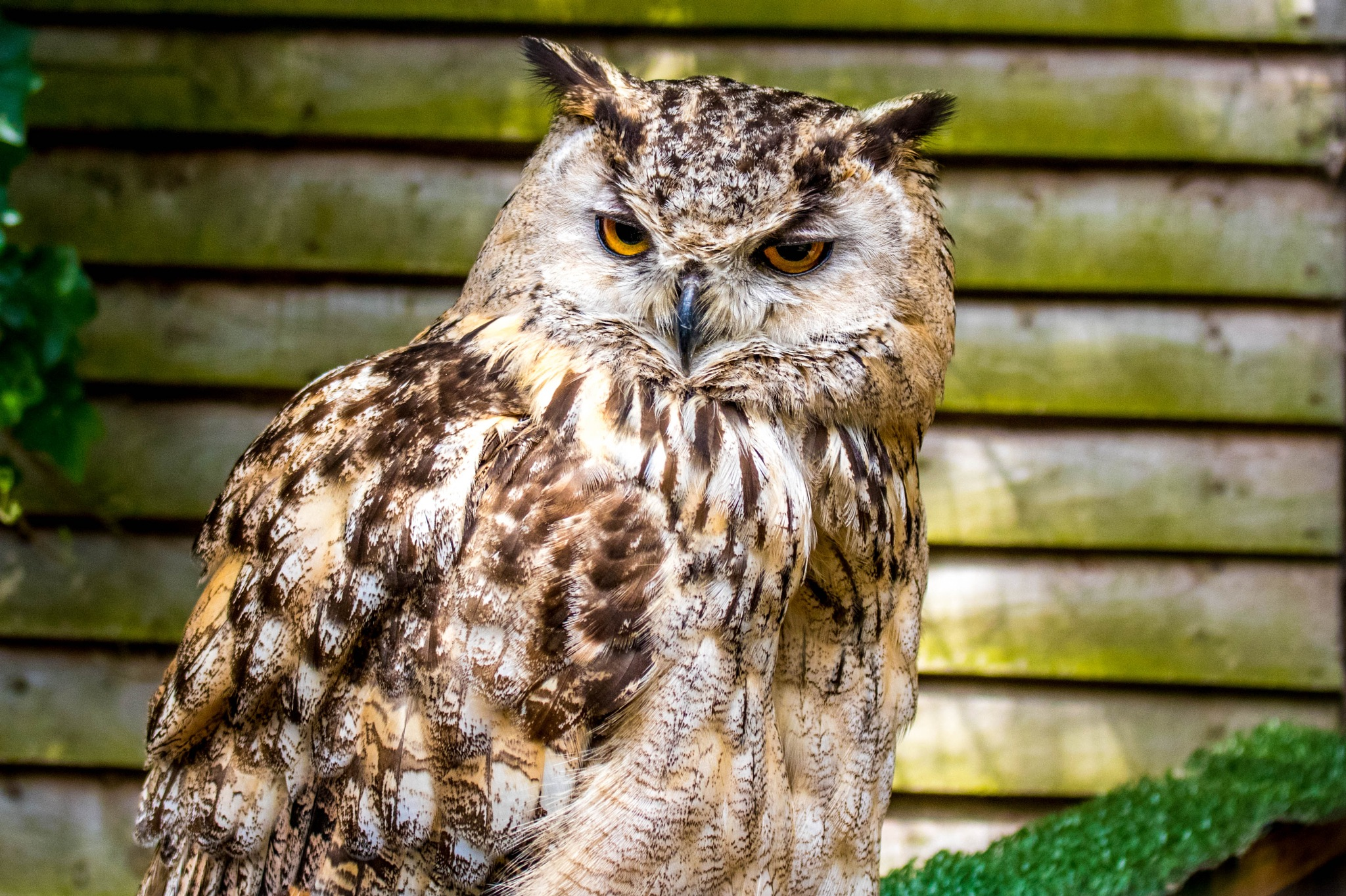 Tawney Owl by Colin