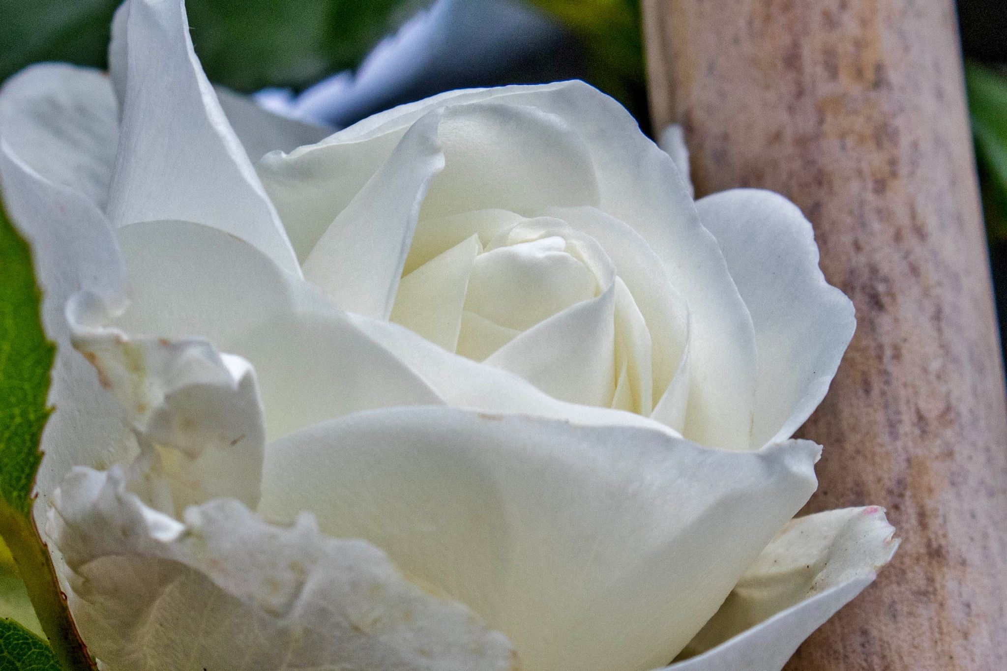 White Rose by Colin