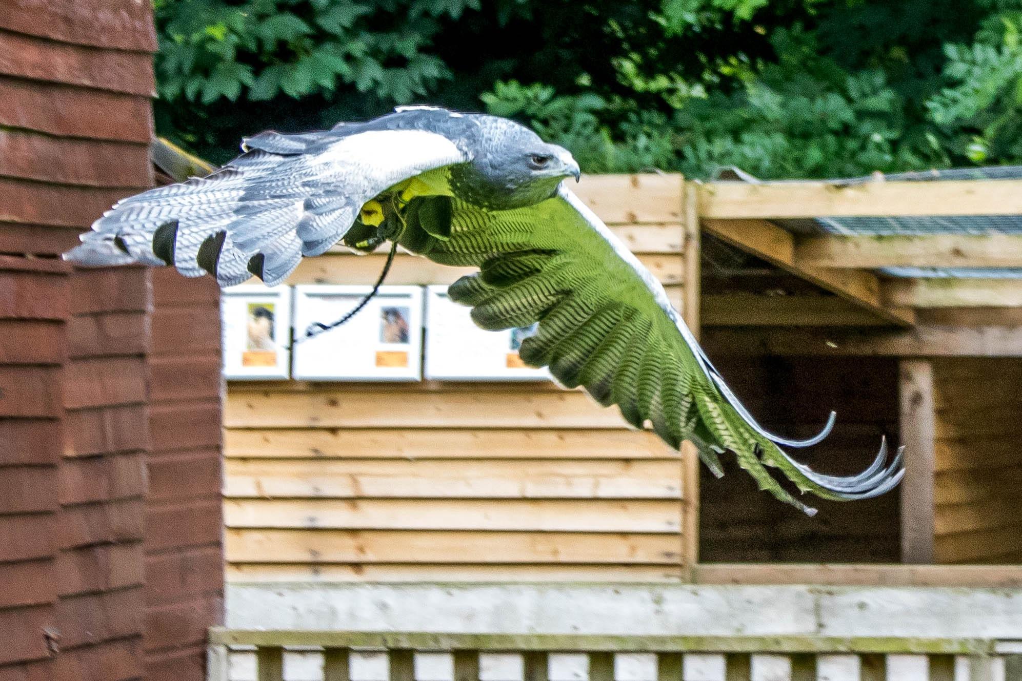 Falcon by Colin