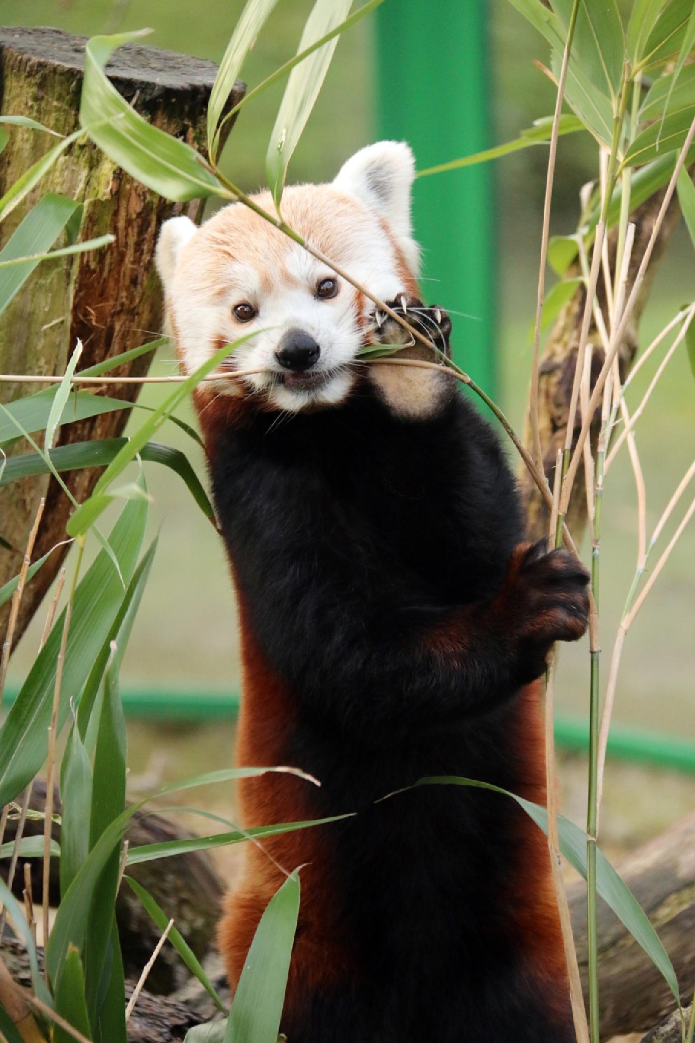 Red Panda by Grahame