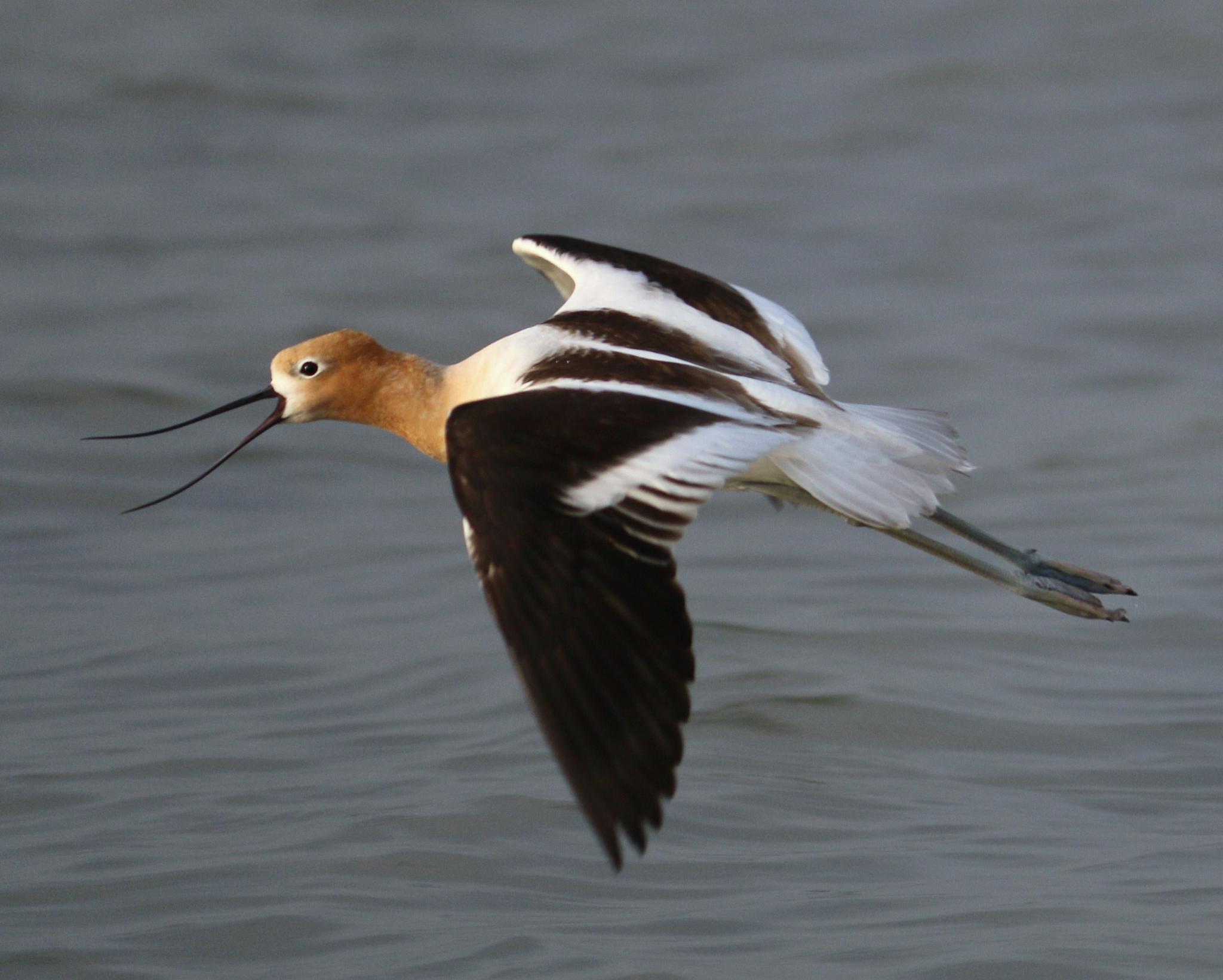 Photo in Animal #flying #bird #avocet #americanavocet #wings