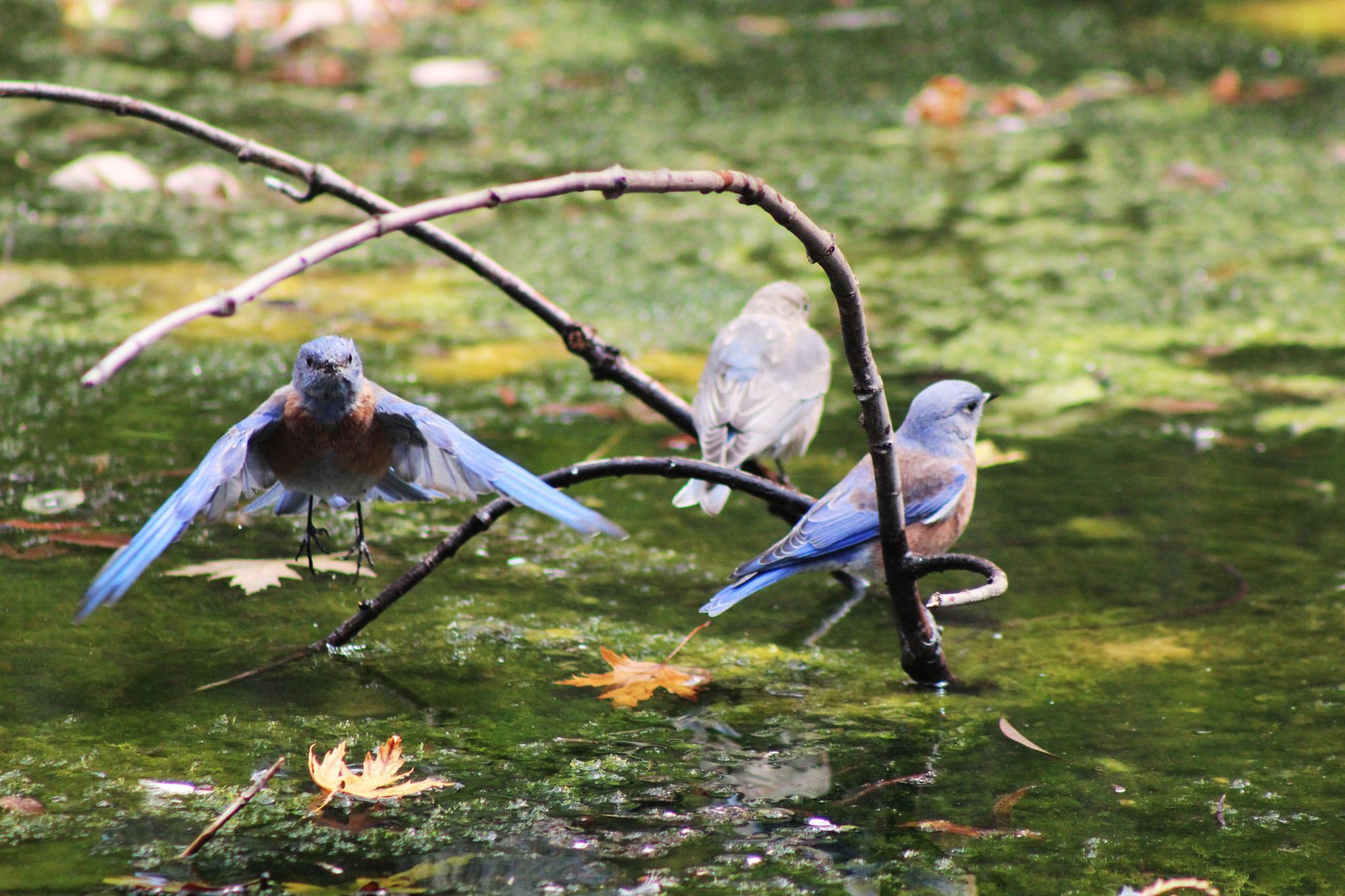 Bluebirds !! by jgonzal6767