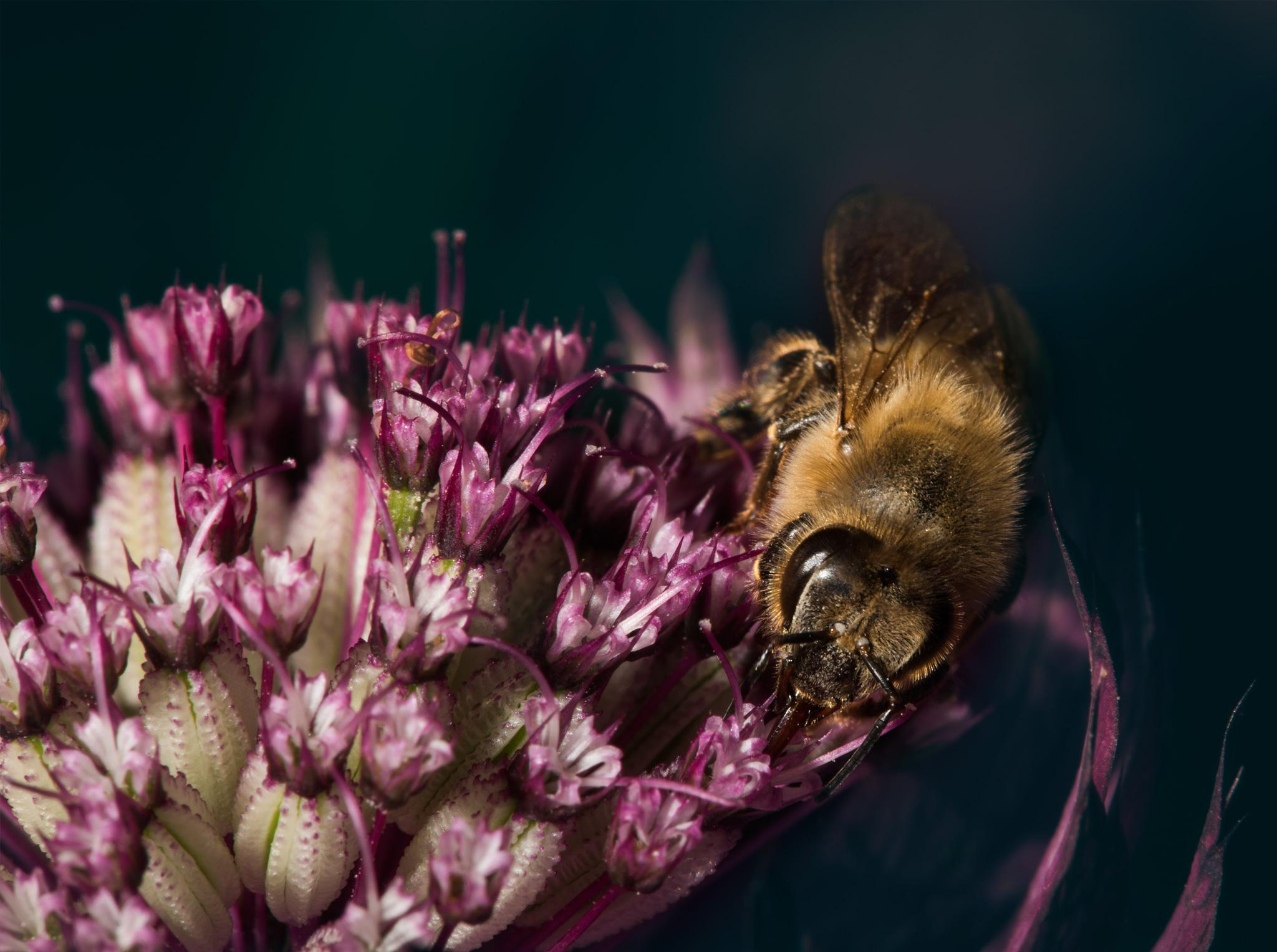 One more Bee by andreasfan