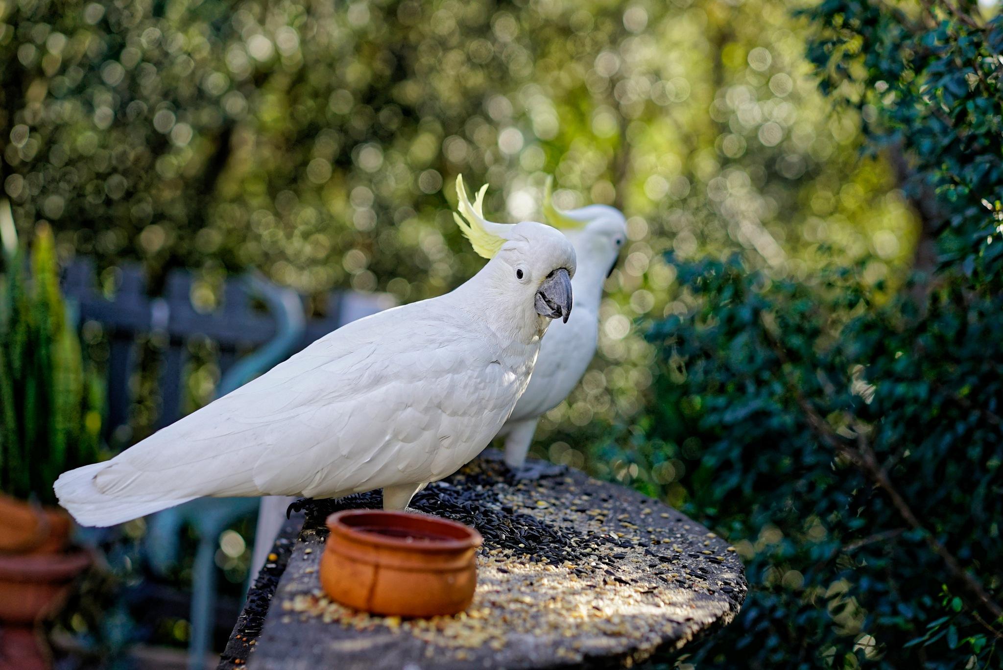 Cockatoos by arraguado