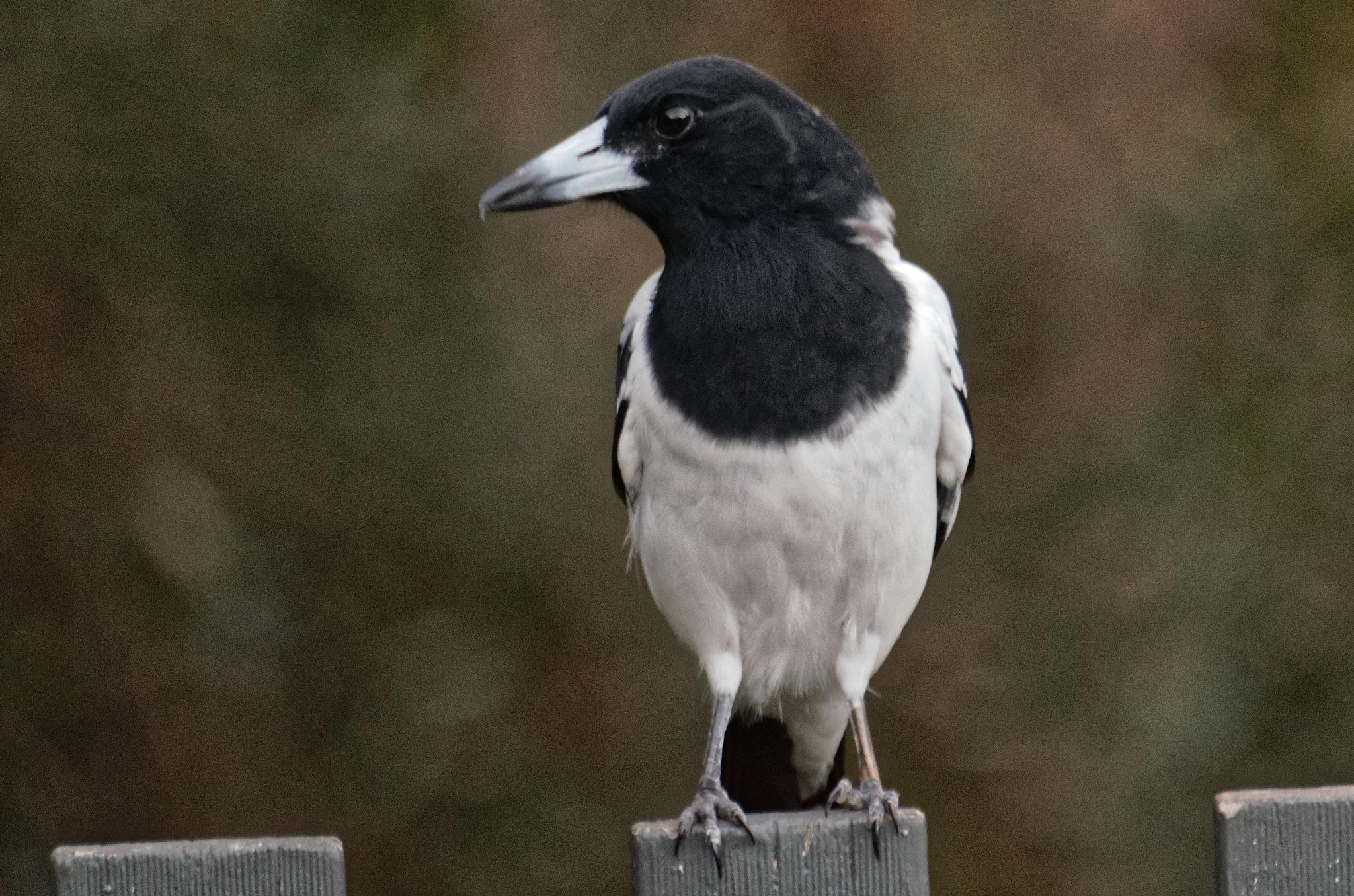 Butcher bird by arraguado