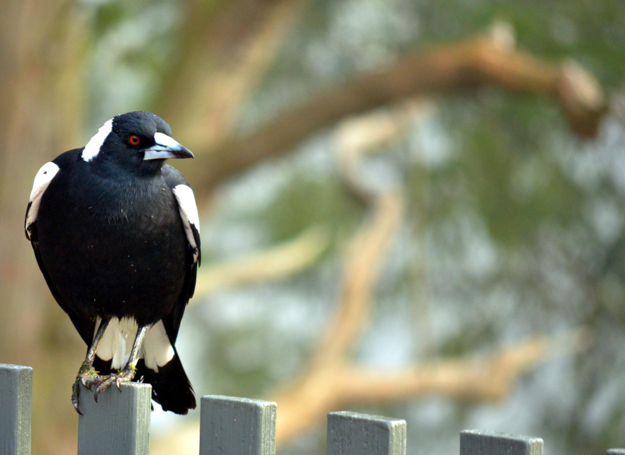 Crow on railing by arraguado