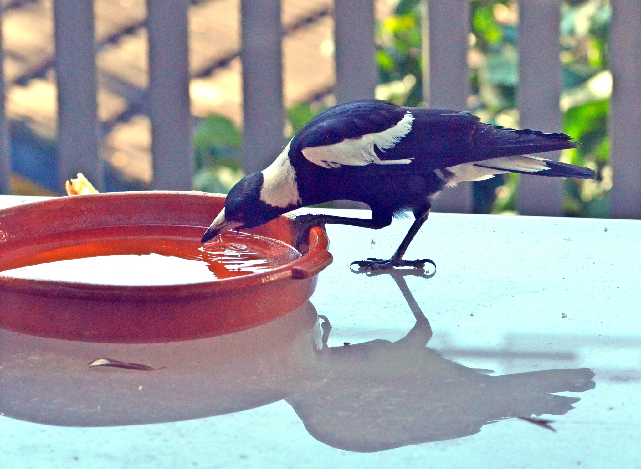 Magpie on a hot day by arraguado