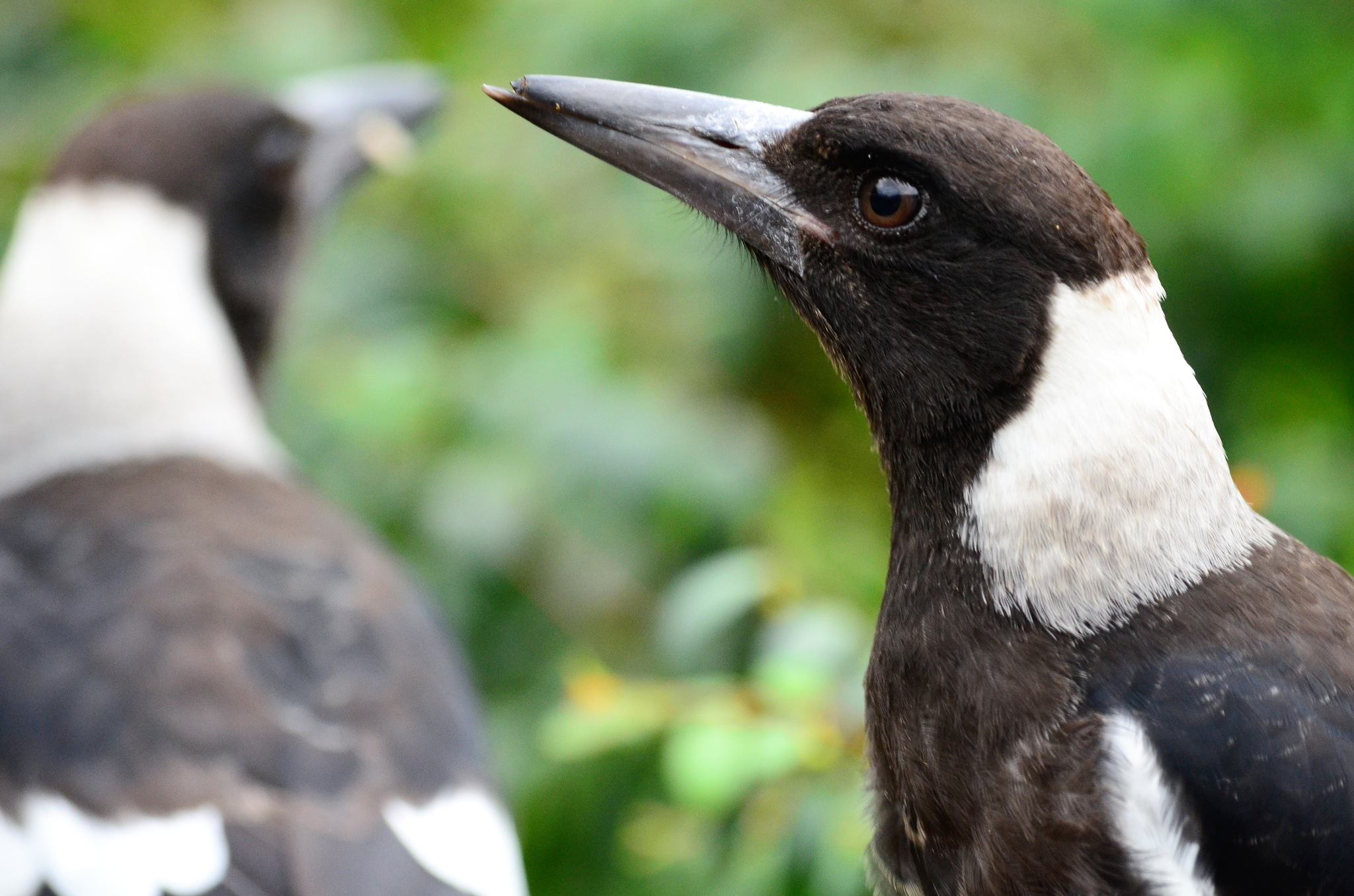 Broken  Beak by arraguado