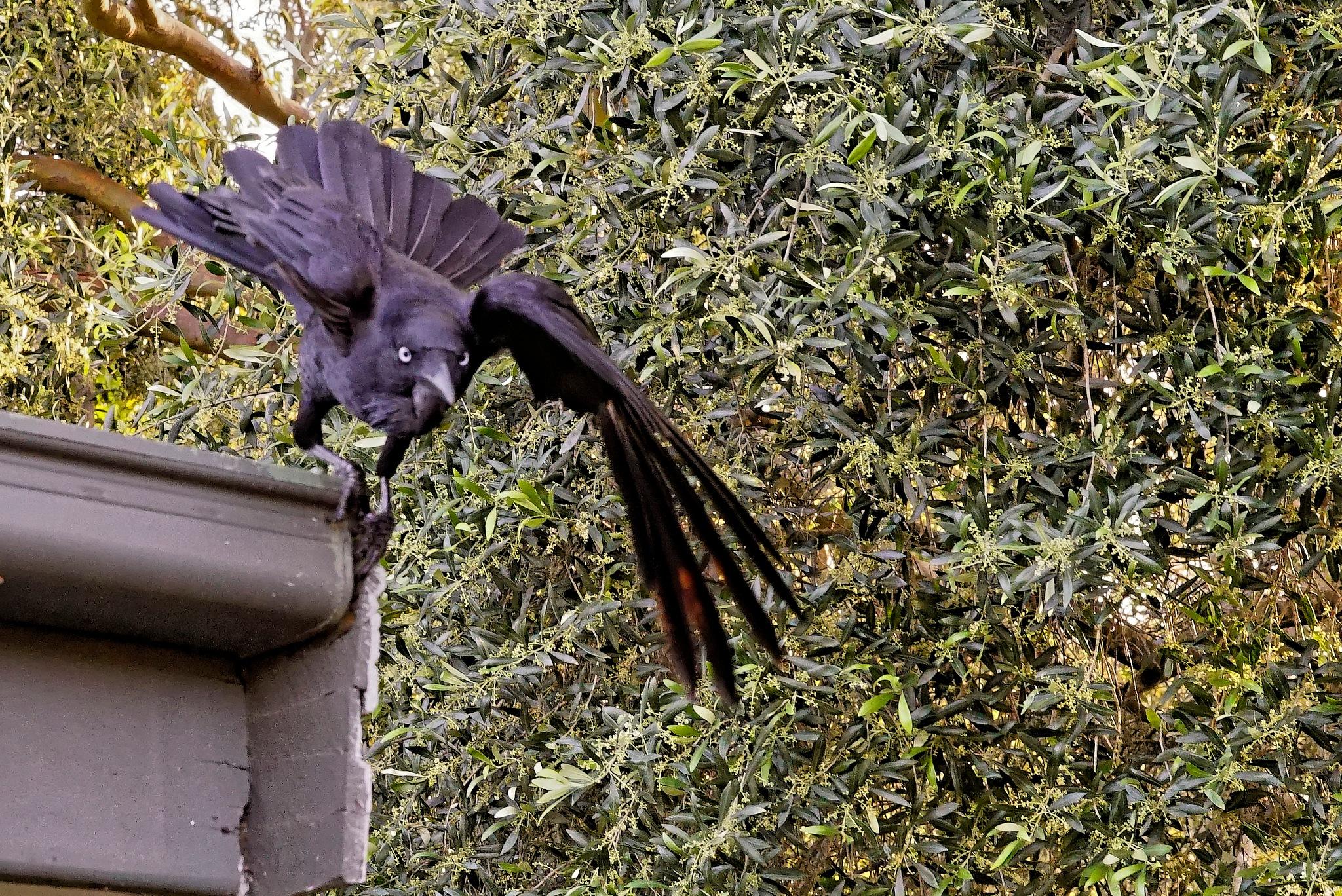 Raven 4 by arraguado