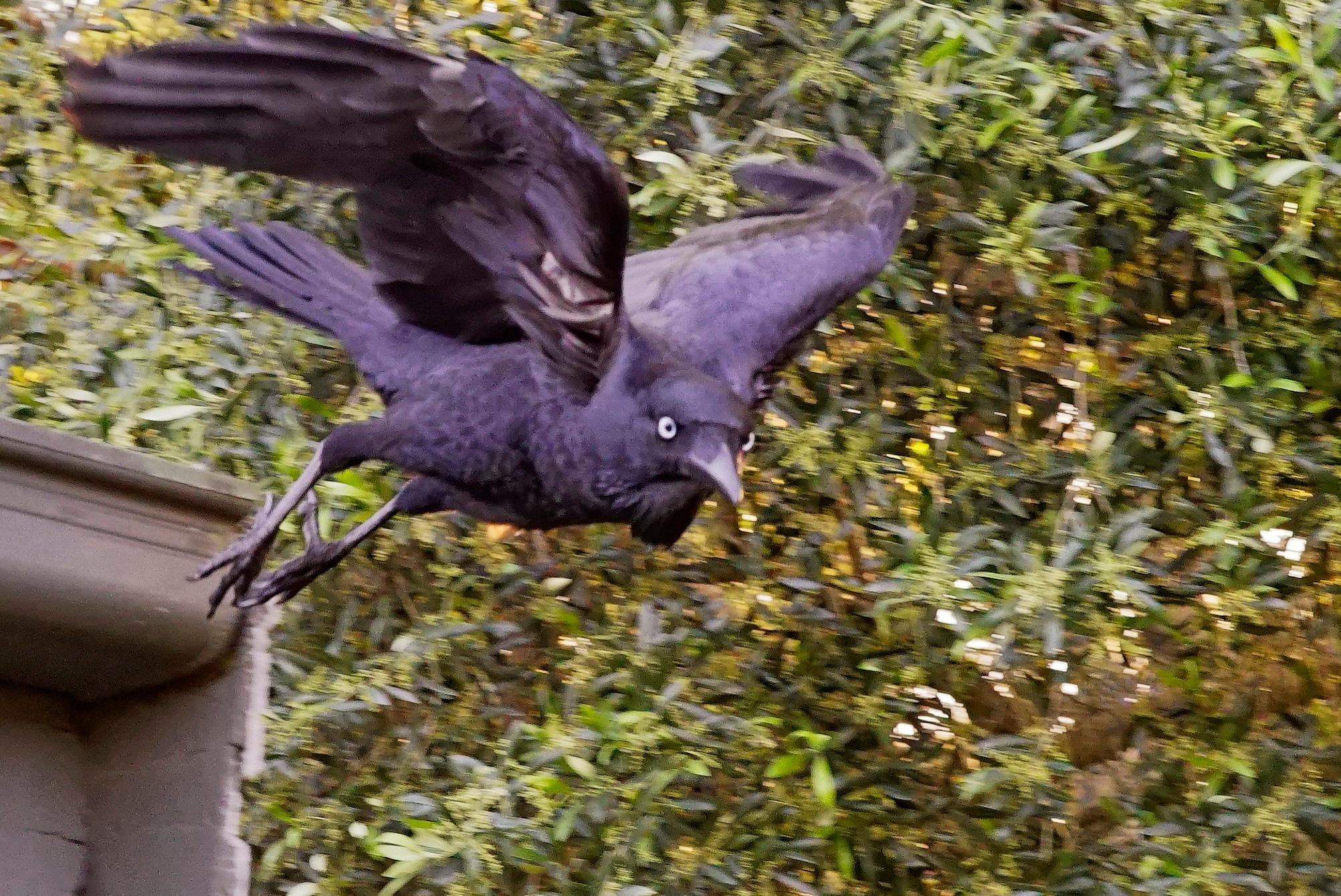 Raven 3 by arraguado