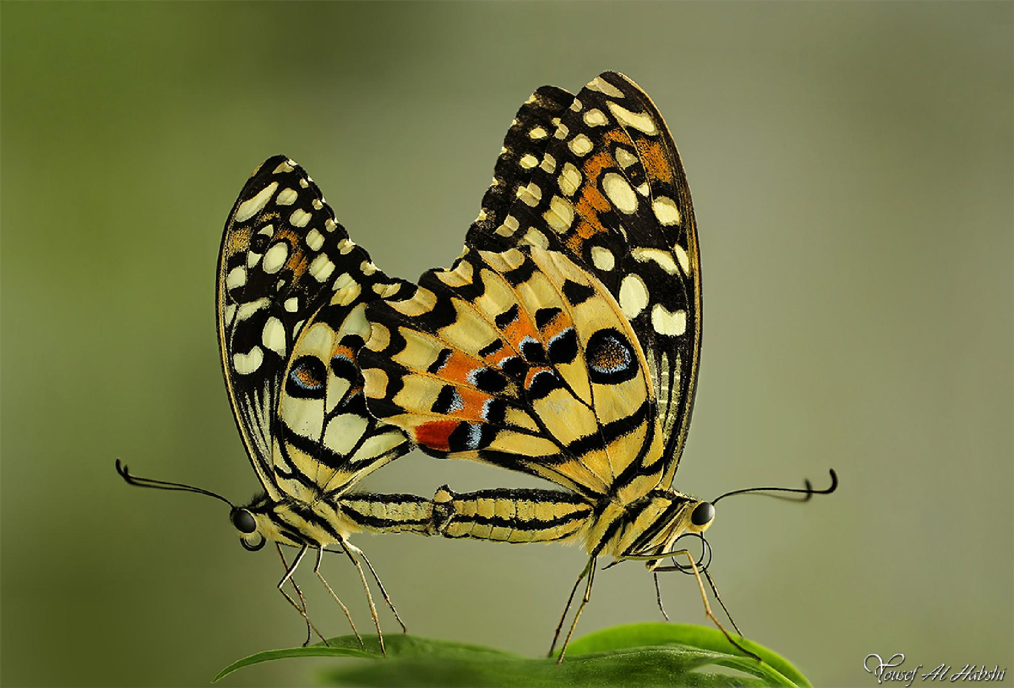 Lime Butterflies by Yousef Al Habshi