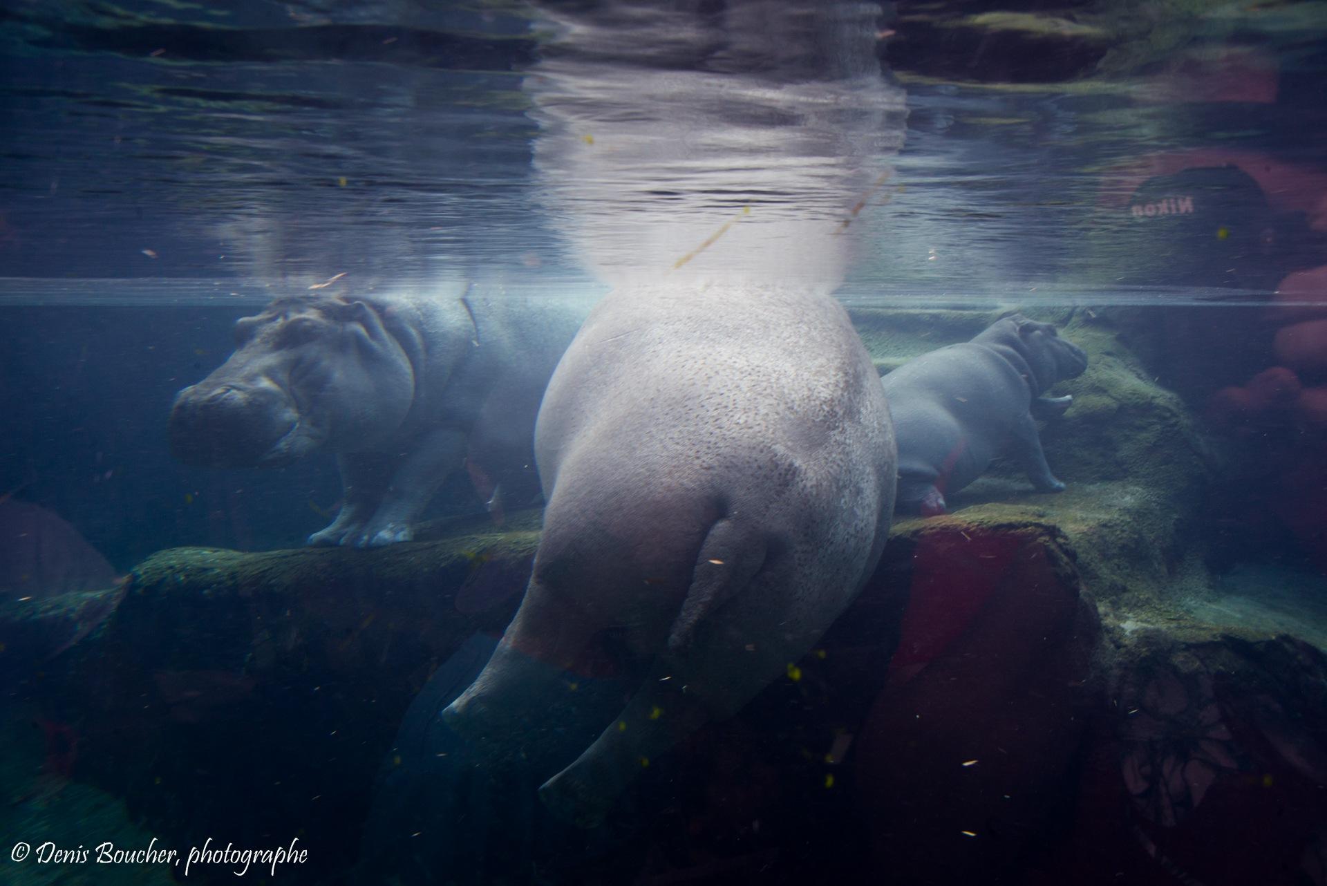 Hippopotame by Denis Boucher
