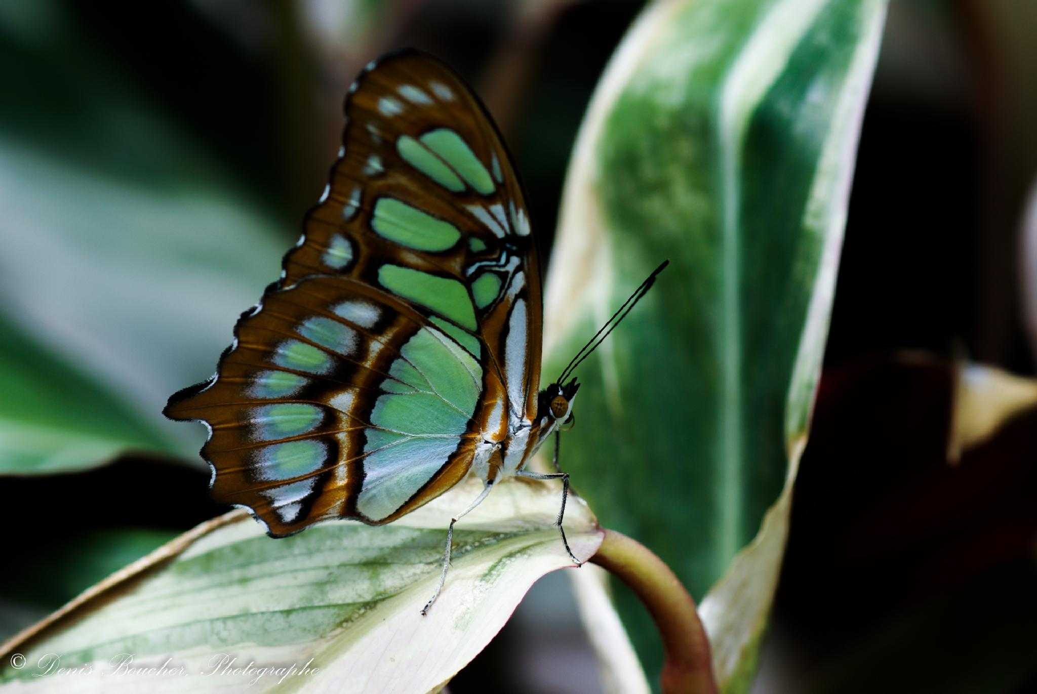 papillon by Denis Boucher