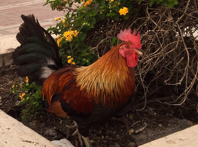 Key West Rooster by Laine
